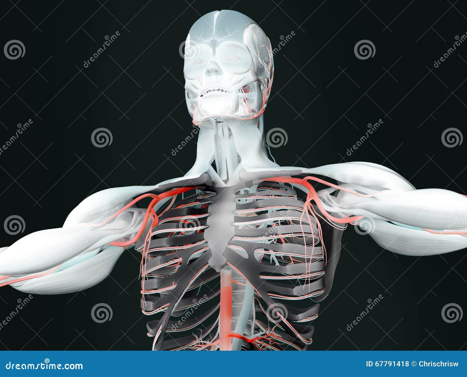 Menschliche Anatomie stock abbildung. Illustration von ausbildung ...