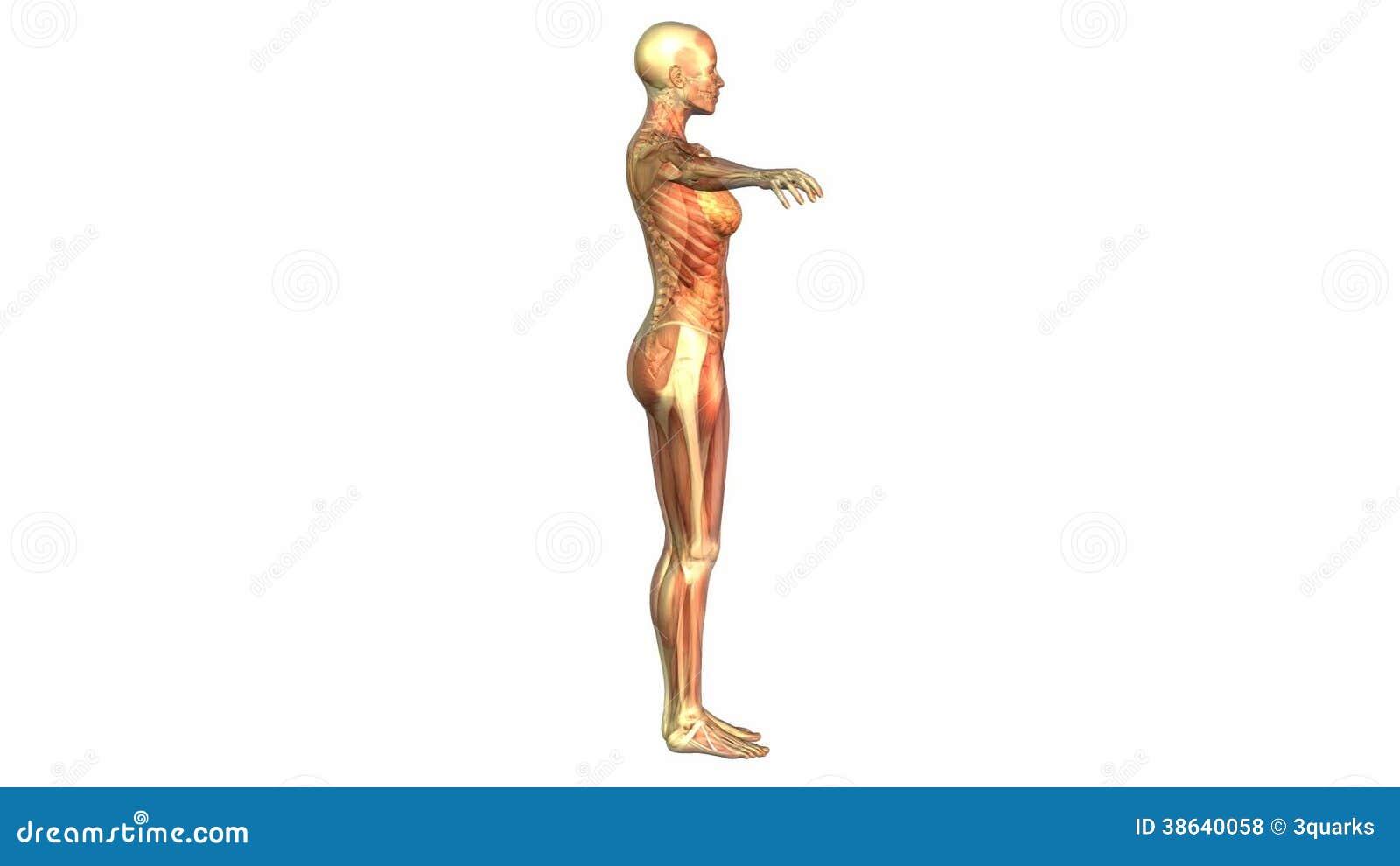 Charmant Menschliche Anatomie Animation Ideen - Anatomie Ideen ...