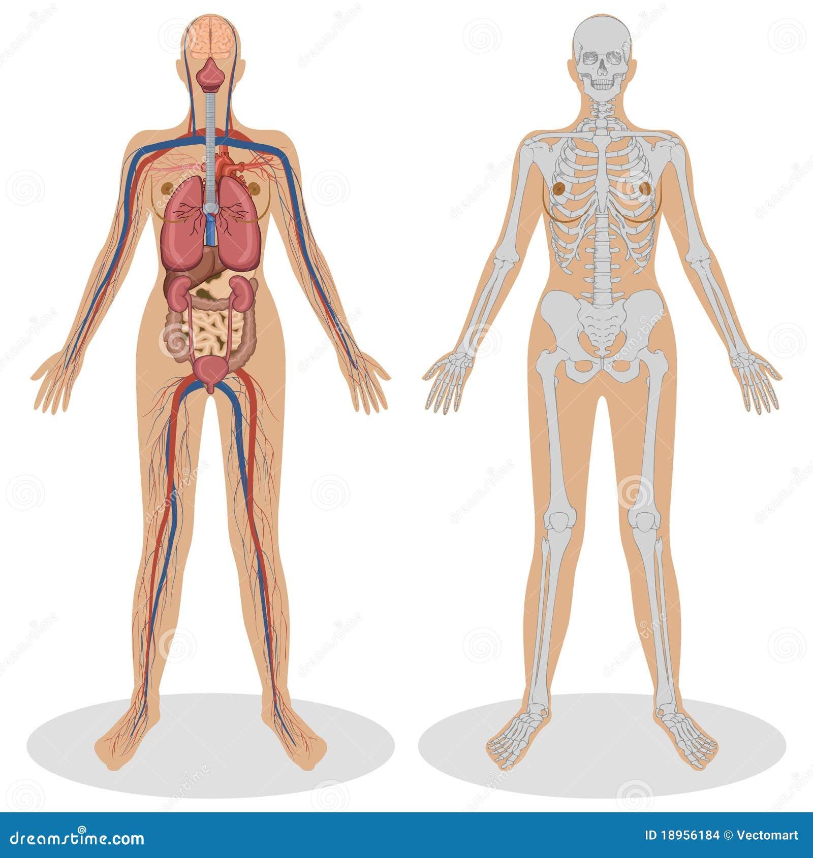 Menschliche Anatomie Der Frau Vektor Abbildung - Illustration von ...