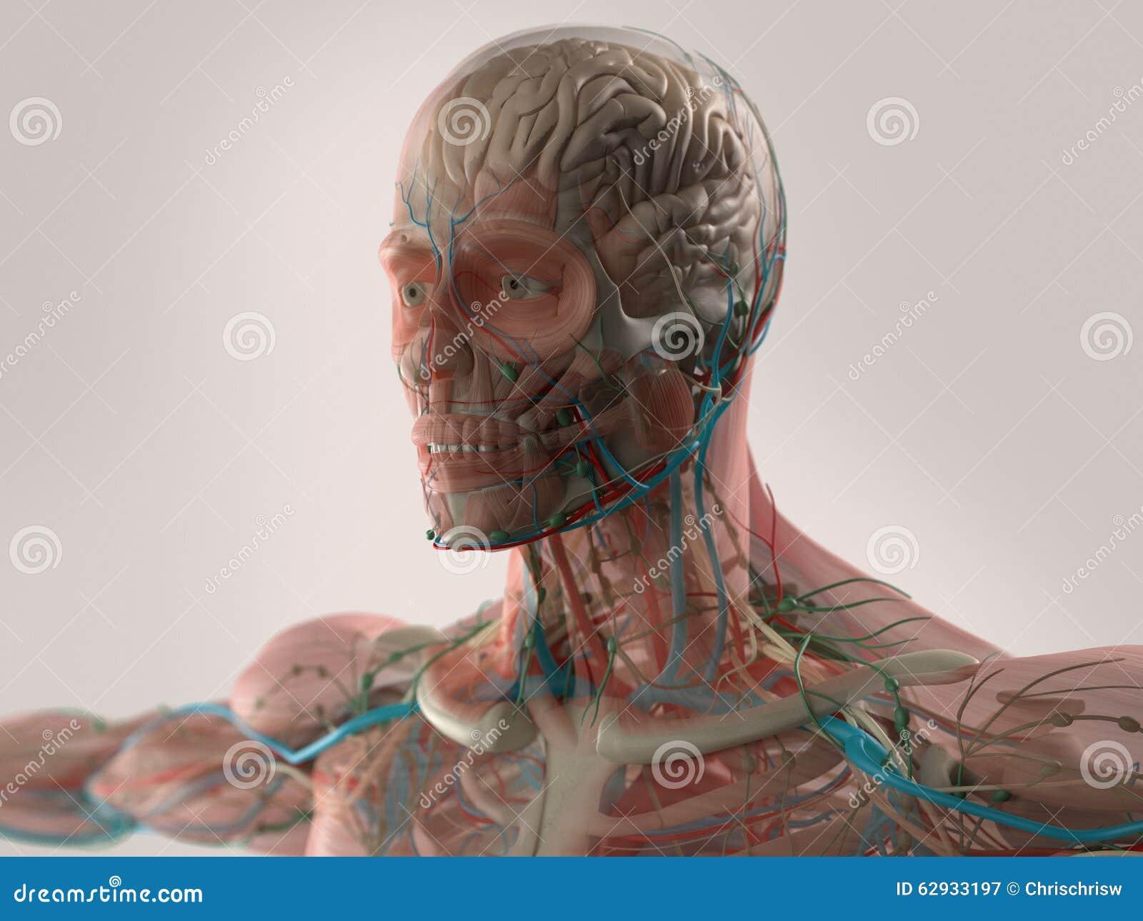 Menschliche Anatomie, Die Gesicht, Kopf, Schultern Und Kasten Zeigt ...