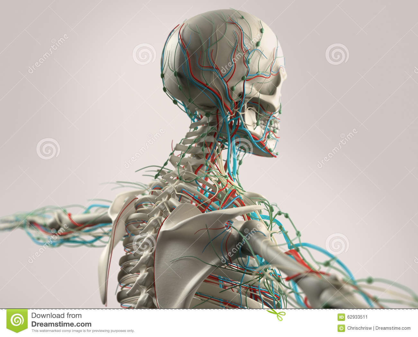 Menschliche Anatomie, Die Gesicht, Kopf, Schultern Und Rückseite ...