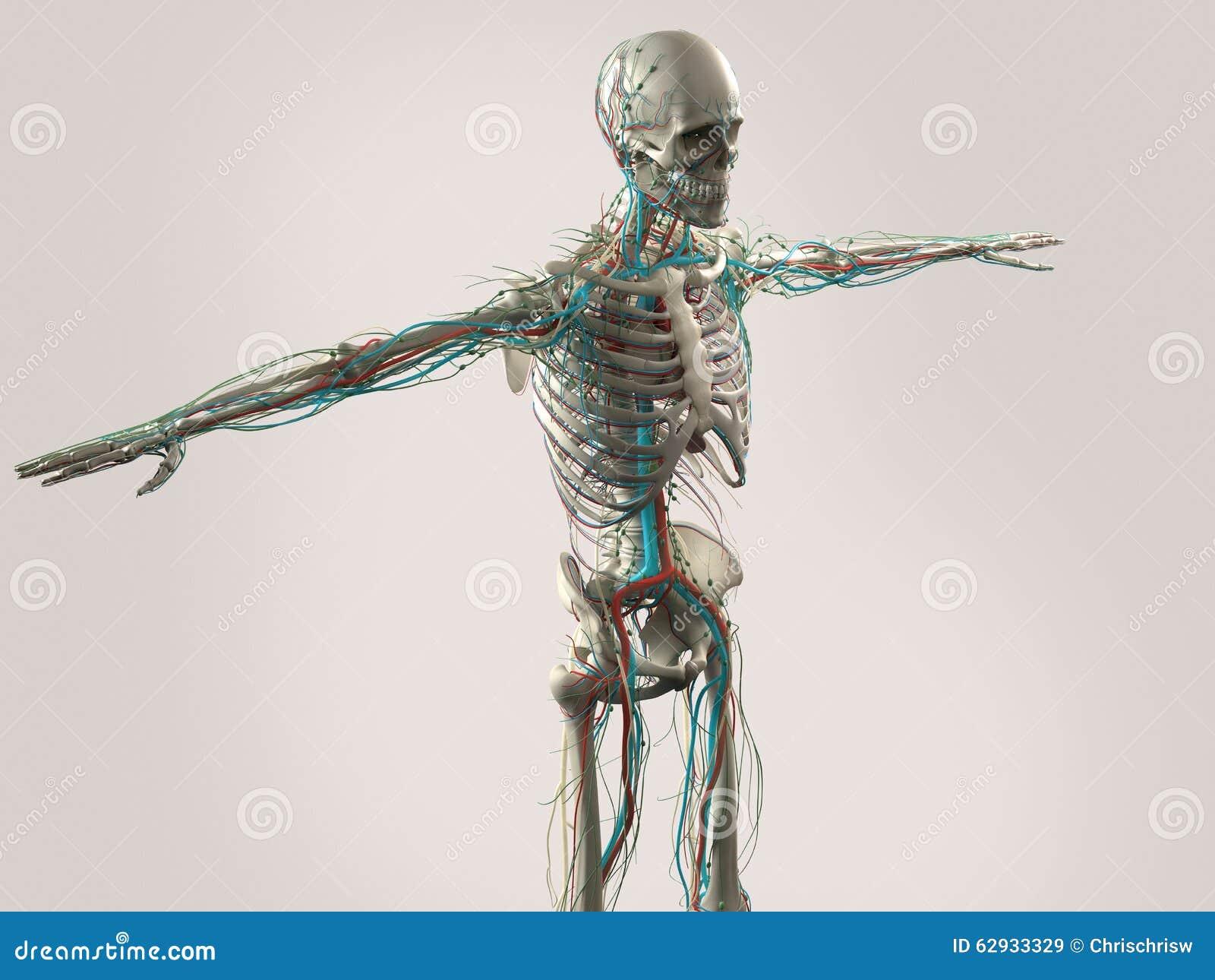 Menschliche Anatomie, Die Gesicht, Kopf, Schultern Und Torso Zeigt ...