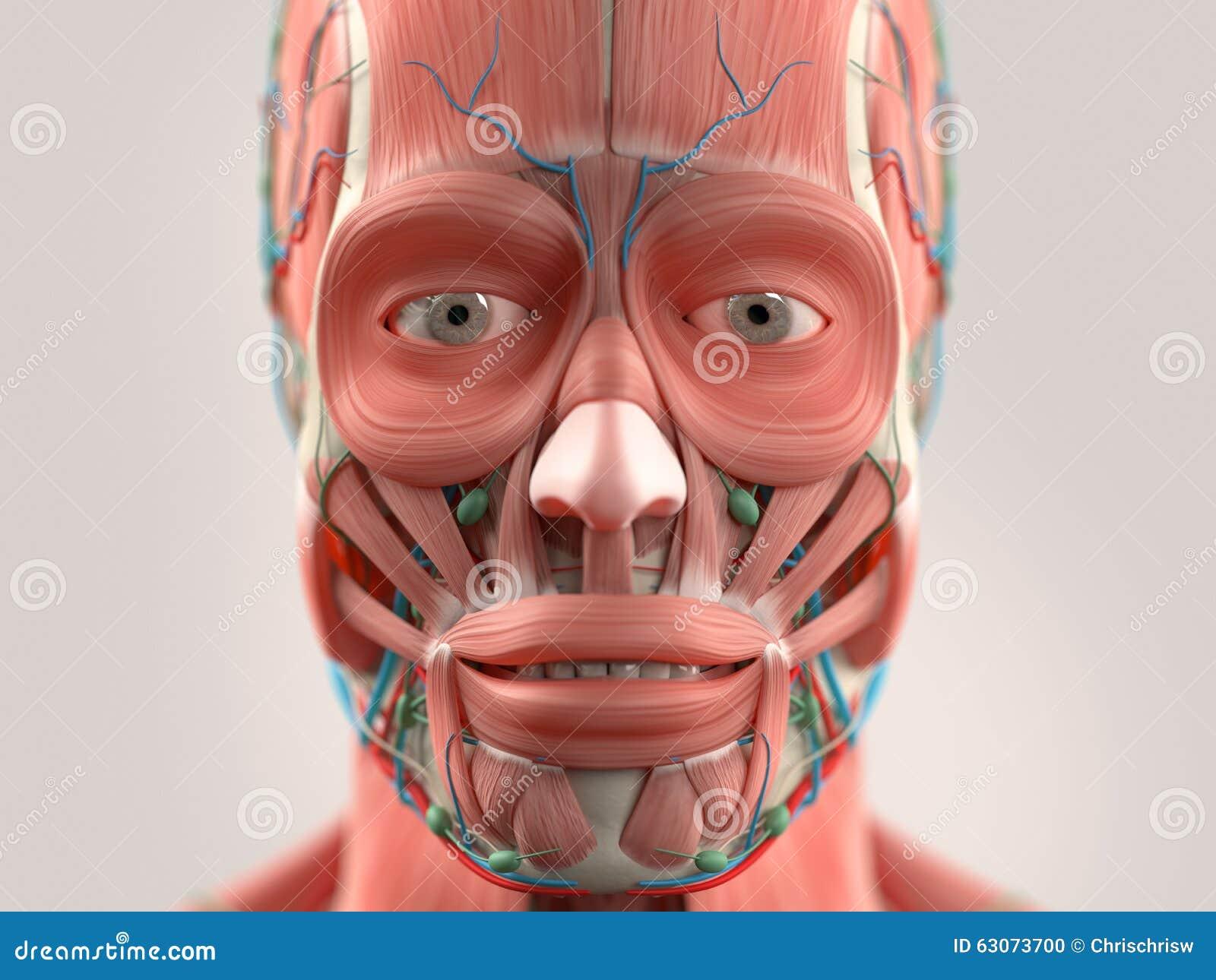 Menschliche Anatomie, Die Kopf, Augen, Nase, Gesicht Zeigt Auf ...