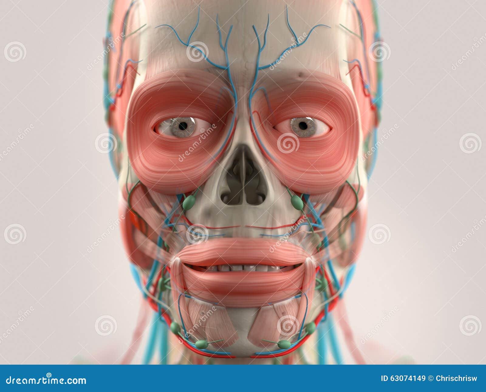Anatomie Der Menschlichen Nase Vektor Abbildung - Illustration von ...
