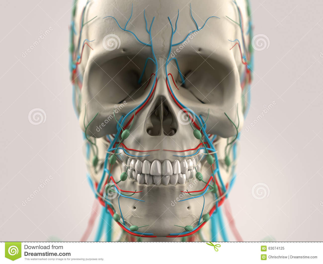 Anatomie Stock Photos - Royalty Free Images - Dreamstime