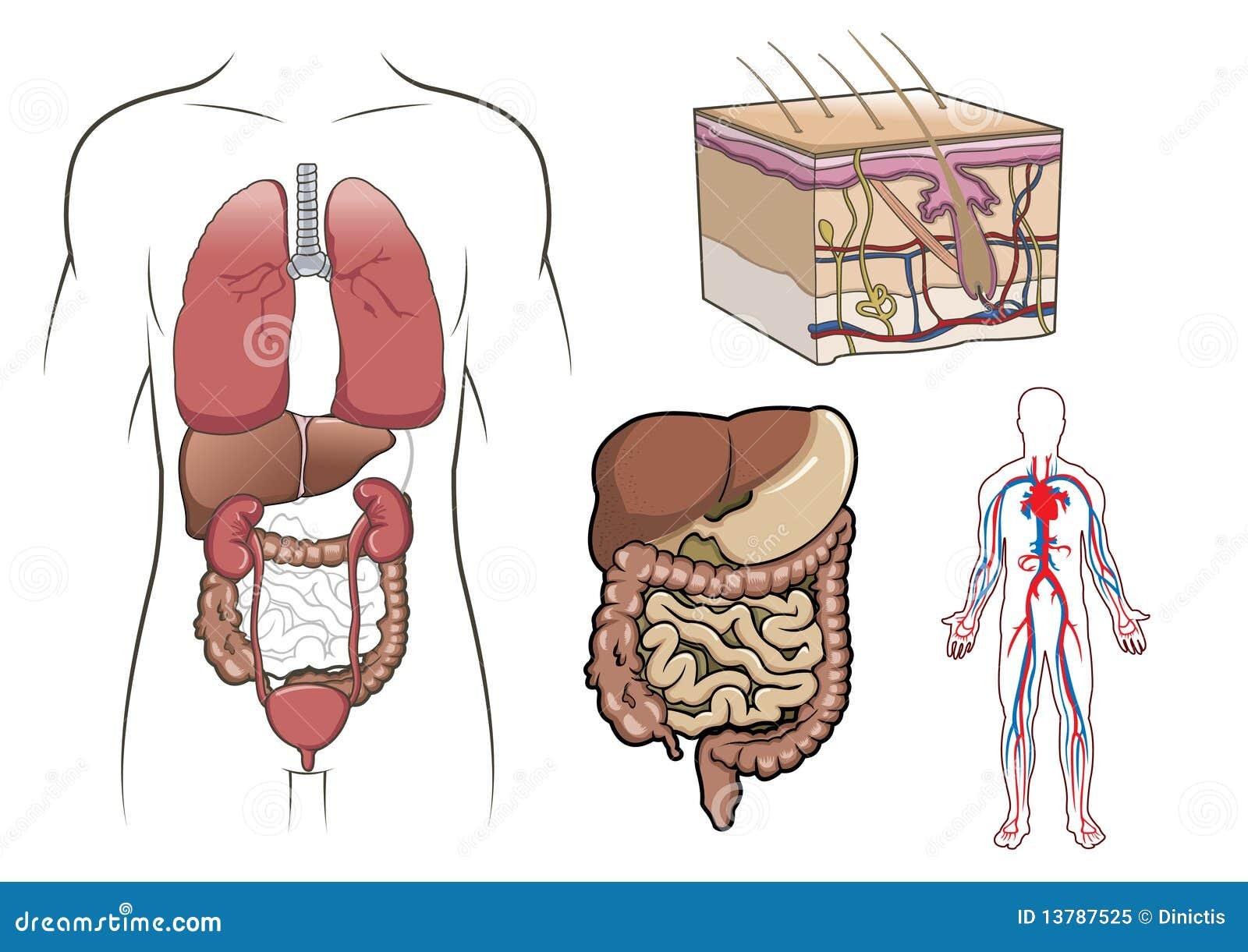 Menschliche Anatomie innen vektor abbildung. Illustration von ...
