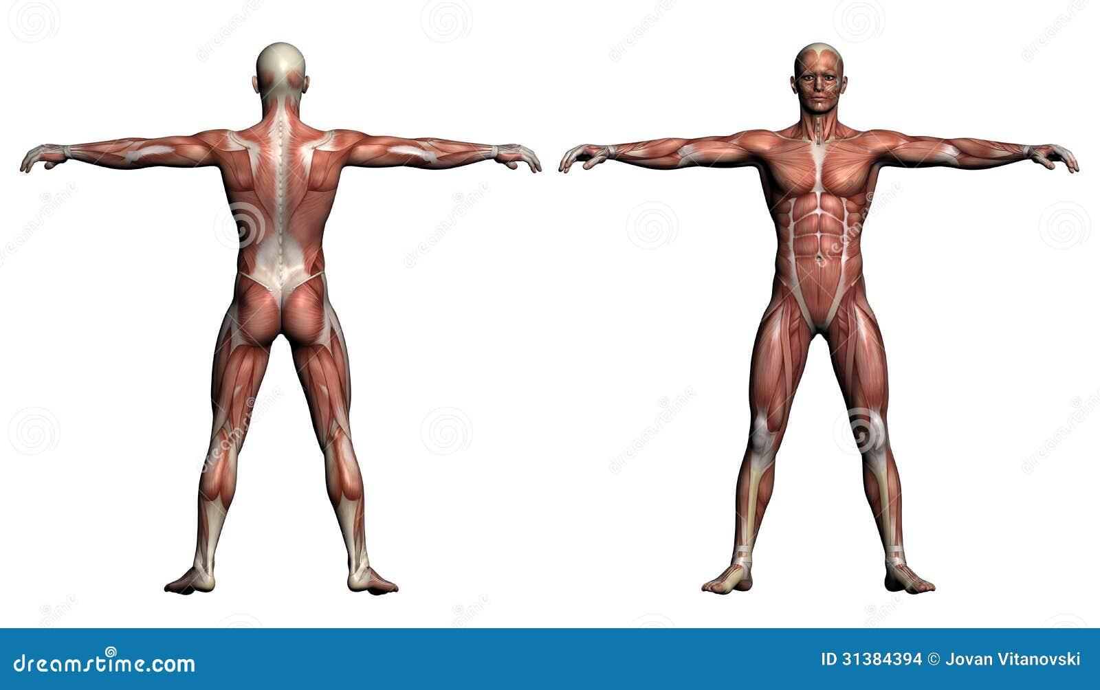 Anatomie Menschliche Muskeln Stock Illustrationen, Vektors ...