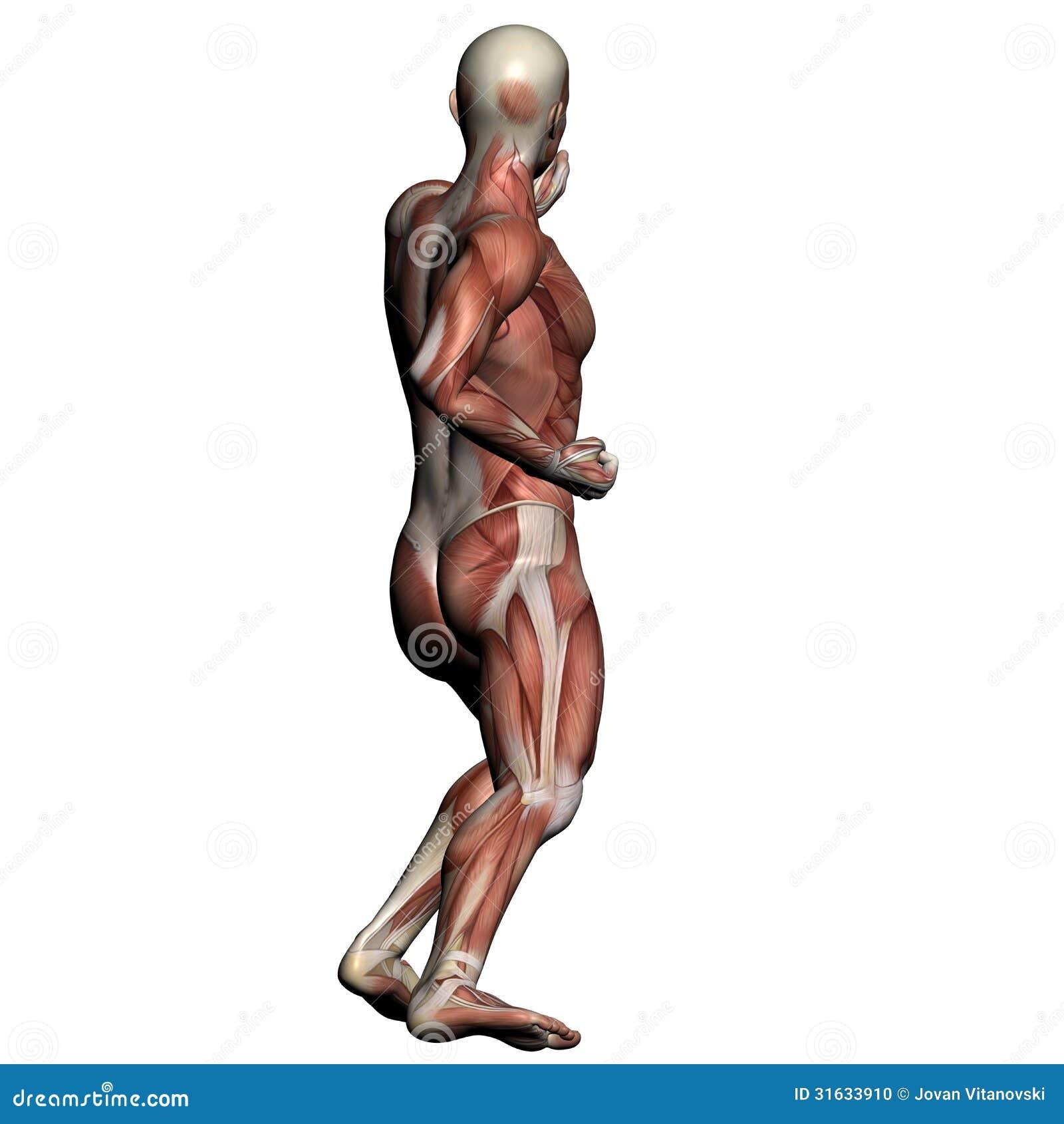 Atemberaubend Muskeln Spiele Für Anatomie Und Physiologie Ideen ...