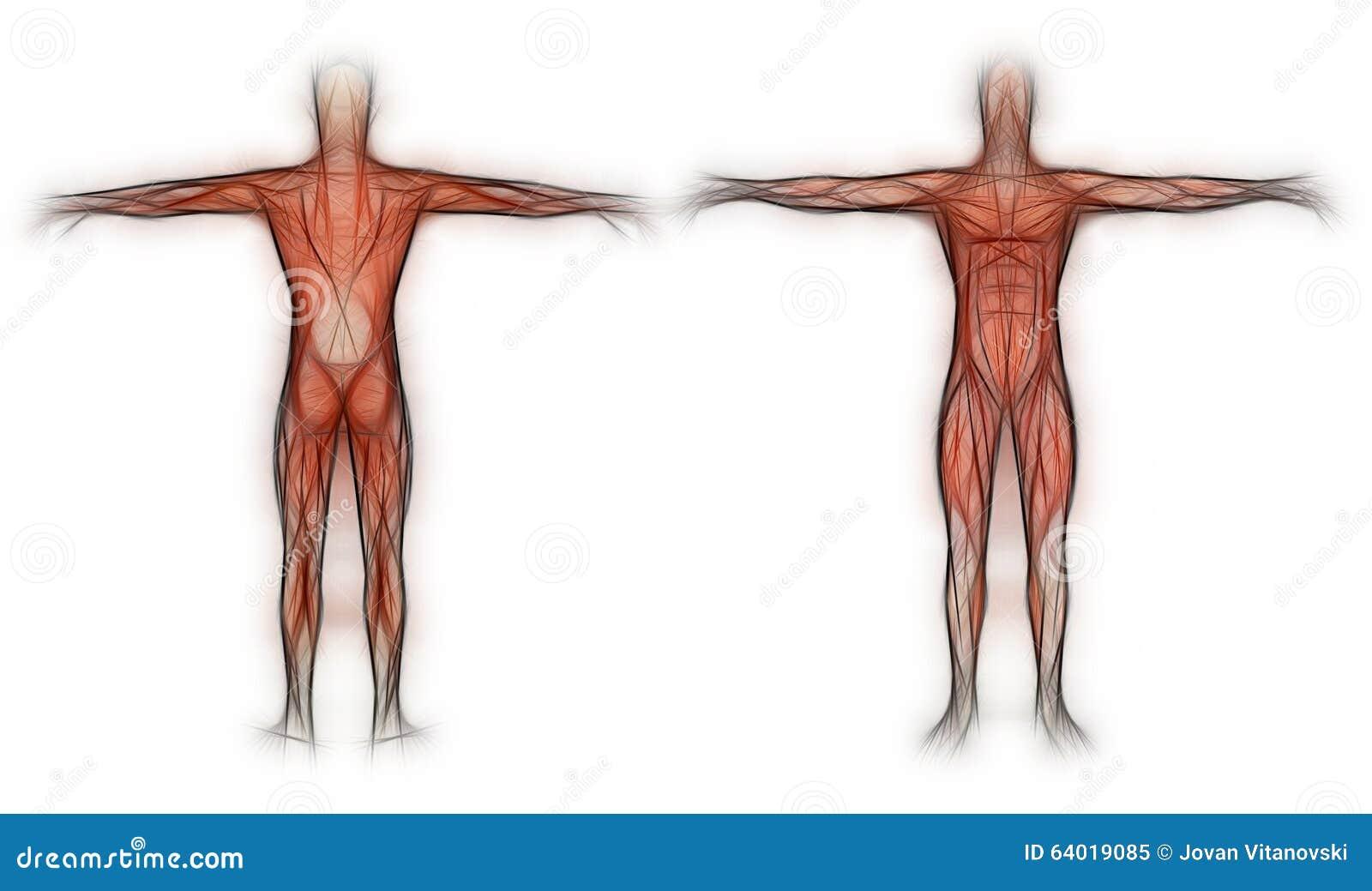 Ziemlich Anatomie Und Physiologie Unterschied Zeitgenössisch ...