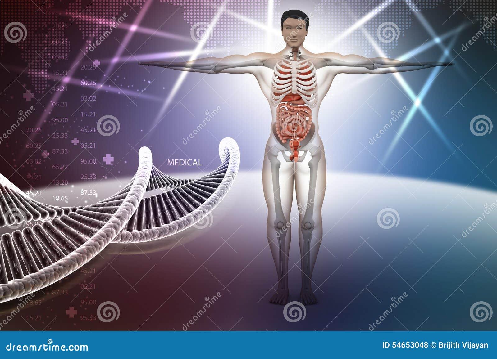 Menschliche Anatomie Mit DNA Stock Abbildung - Illustration von ...