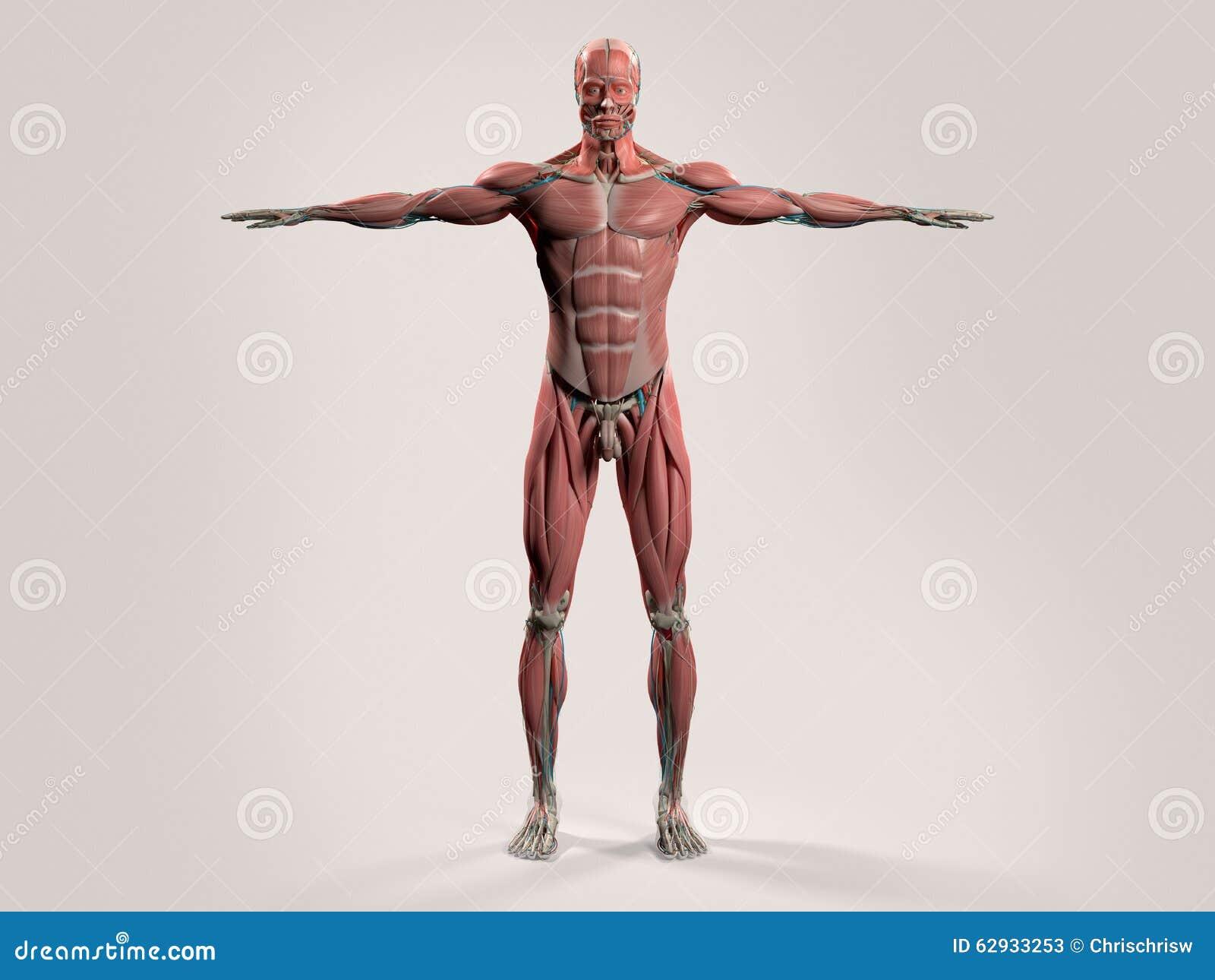 Menschliche Anatomie Mit Vorderansicht Des Vollen Körpers Stockbild ...