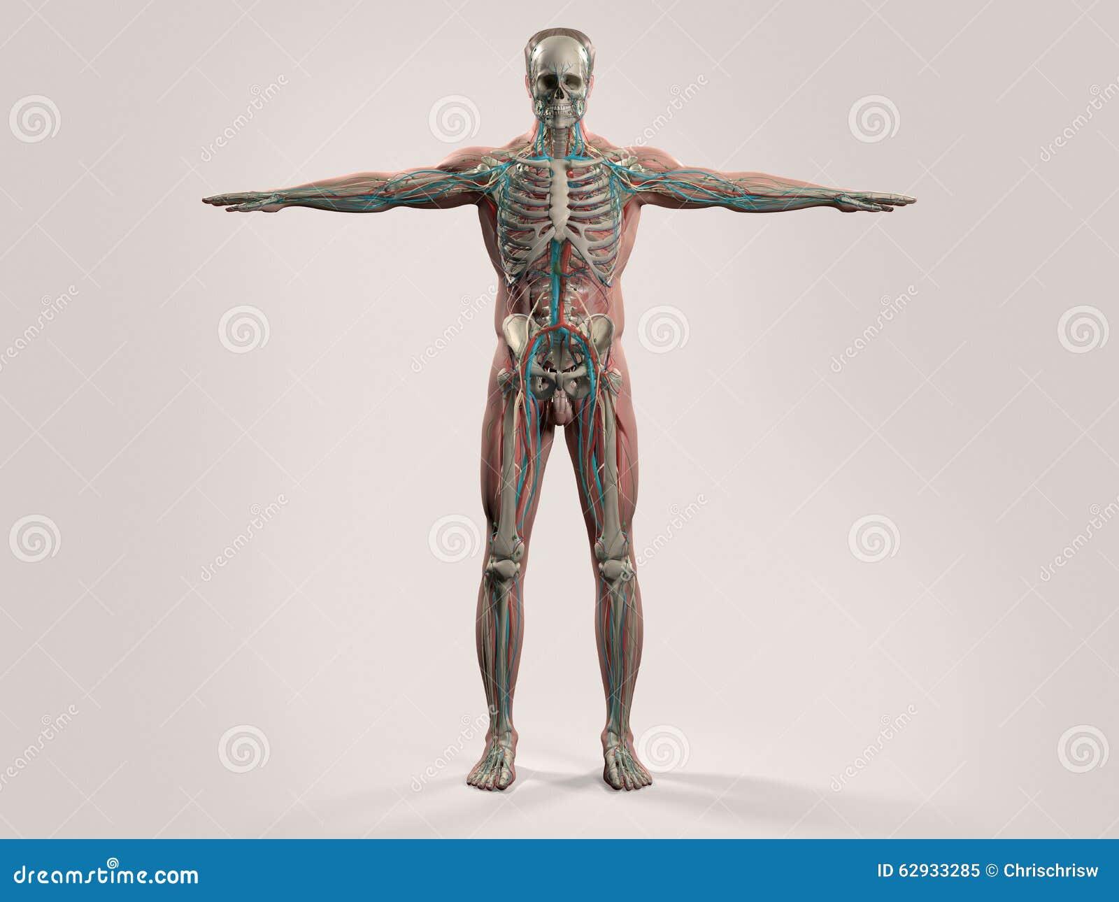 Nett Anatomie Des Menschen Gemacht Erstaunlich Einfach ...