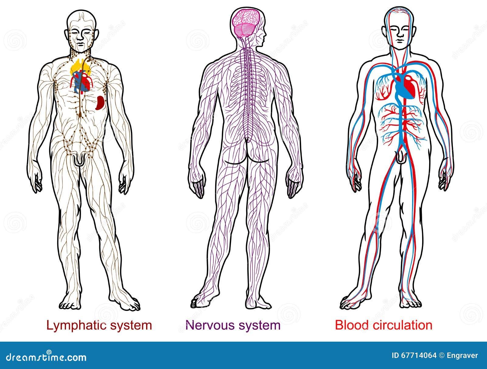 Menschliche Anatomie Nervös, Blut, Lymphsystem Vektor Abbildung ...