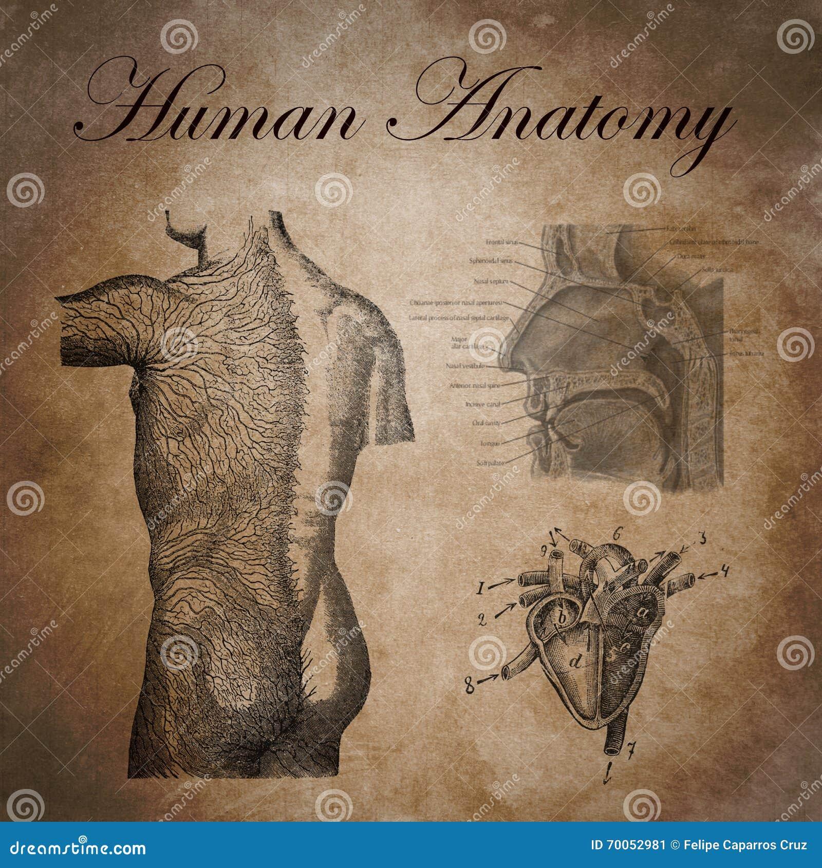 Menschliche Anatomie, Studie Des Nervösen Gerätes Stock Abbildung ...