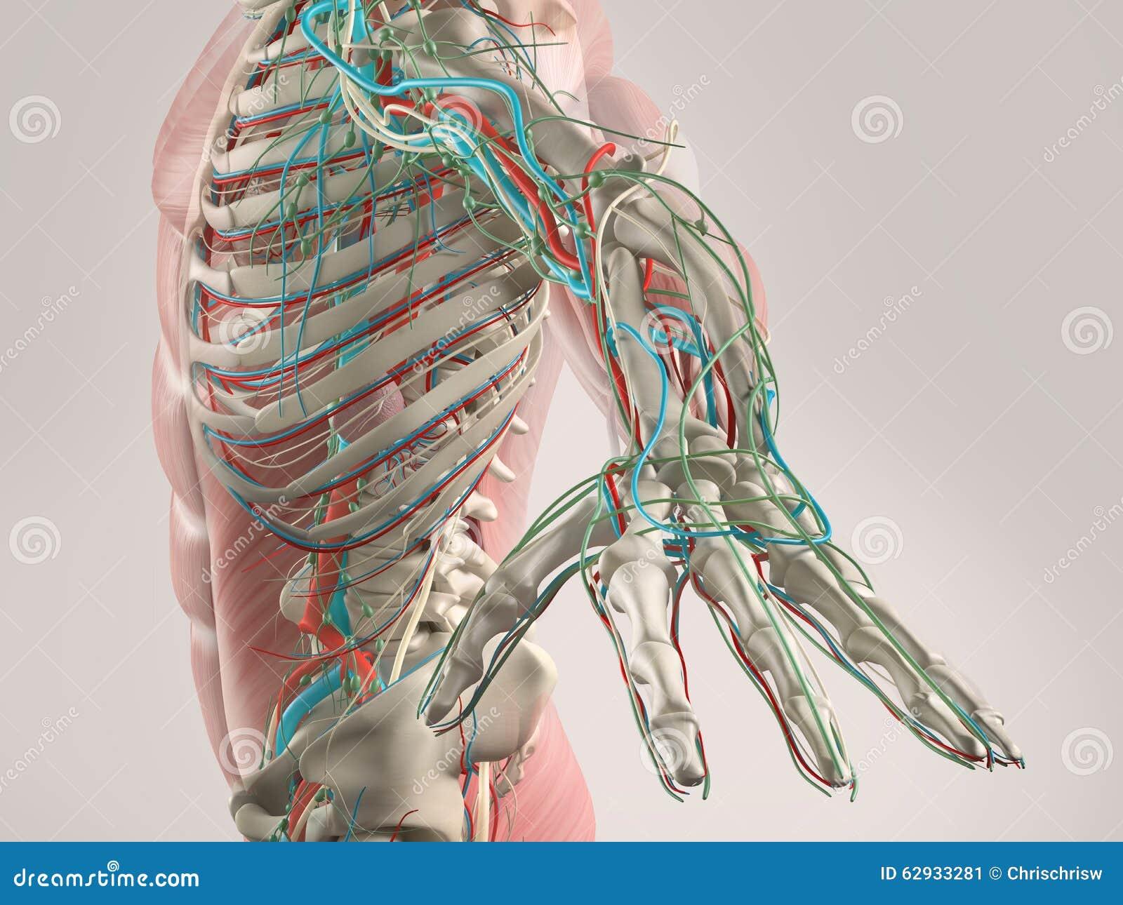 Menschliche Anatomieansicht Des Torsos Und Des Armes Stockbild ...