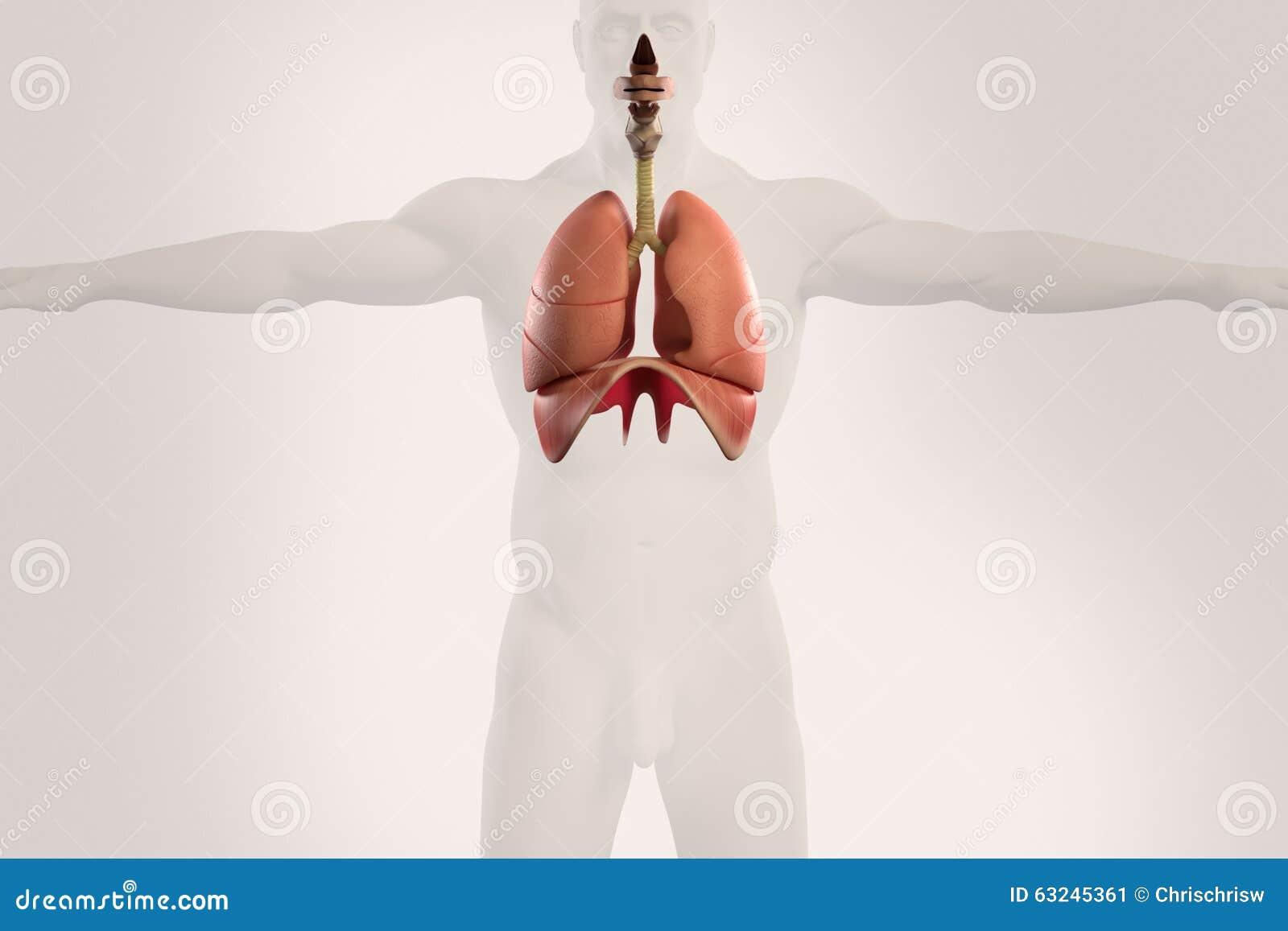 Ungewöhnlich Atmungssystem Alveolen Ideen - Menschliche Anatomie ...