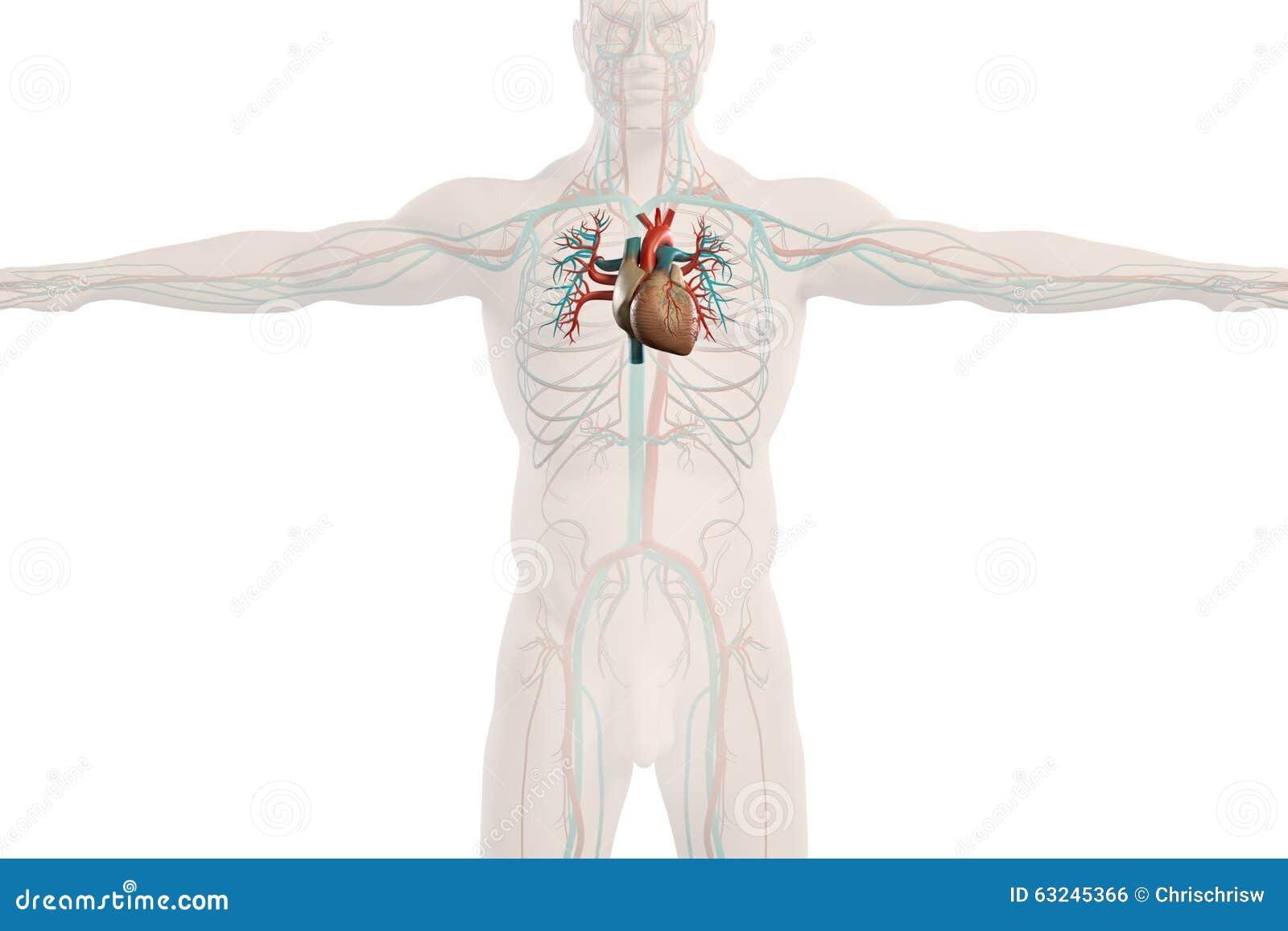 Menschliche Anatomieröntgenstrahlansicht Des Kreislaufsystem ...