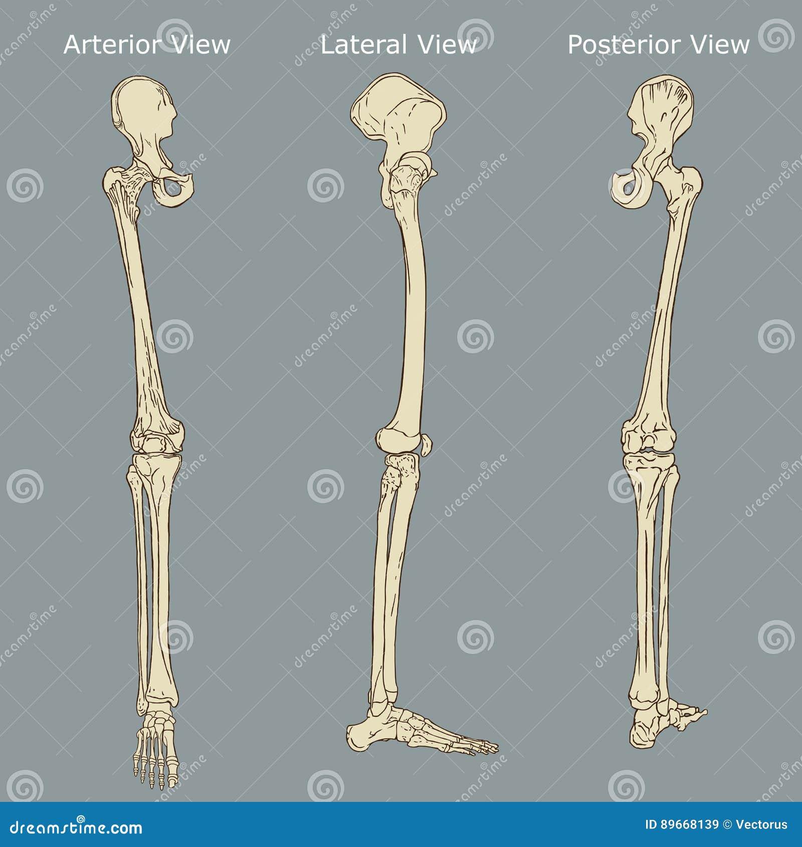 Menschliche Bein-Anatomie vektor abbildung. Illustration von ...
