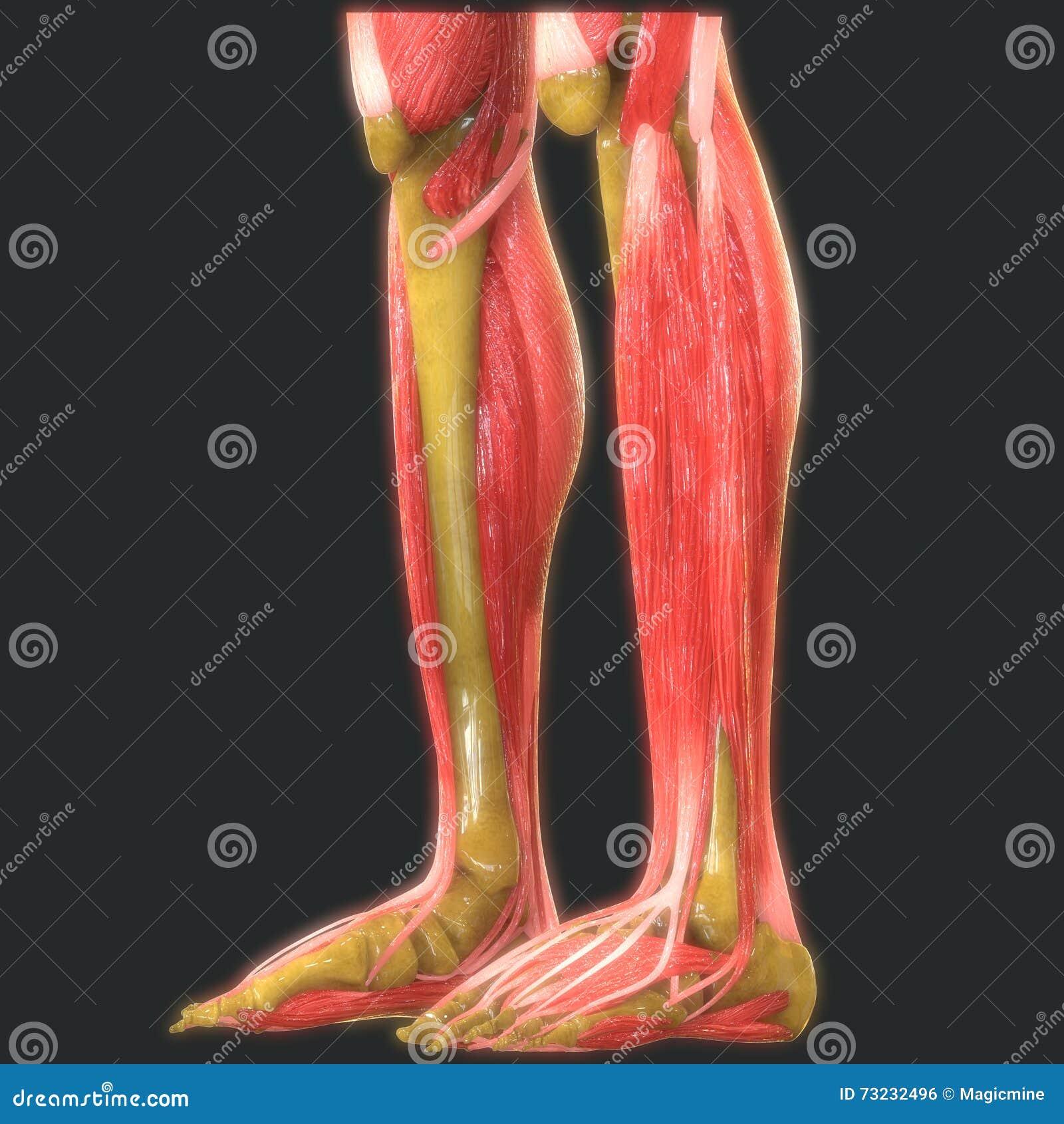 Menschliche Bein-Gelenke Mit Muskel-Anatomie Stock Abbildung ...