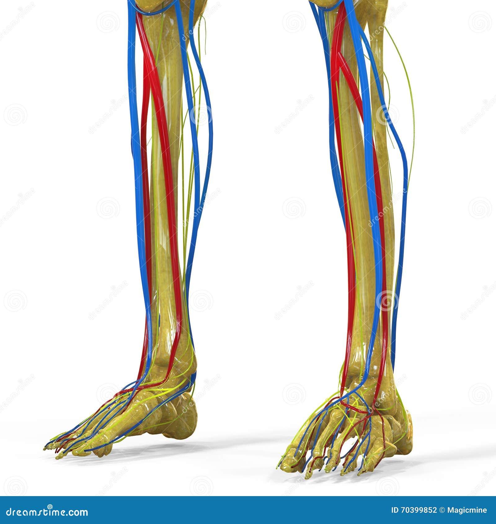 Menschliche Bein-Gelenke Mit Nervensystem Stock Abbildung ...