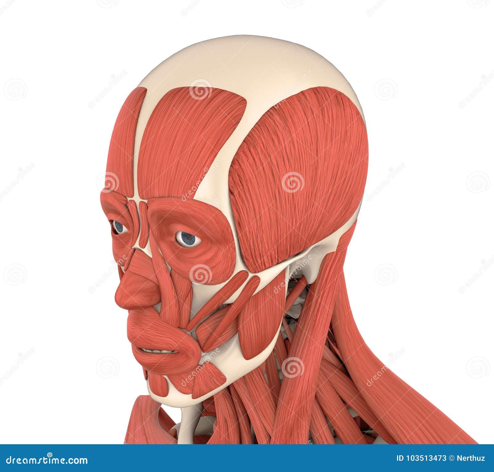 Menschliche Gesichtsmuskel-Anatomie Stock Abbildung - Illustration ...