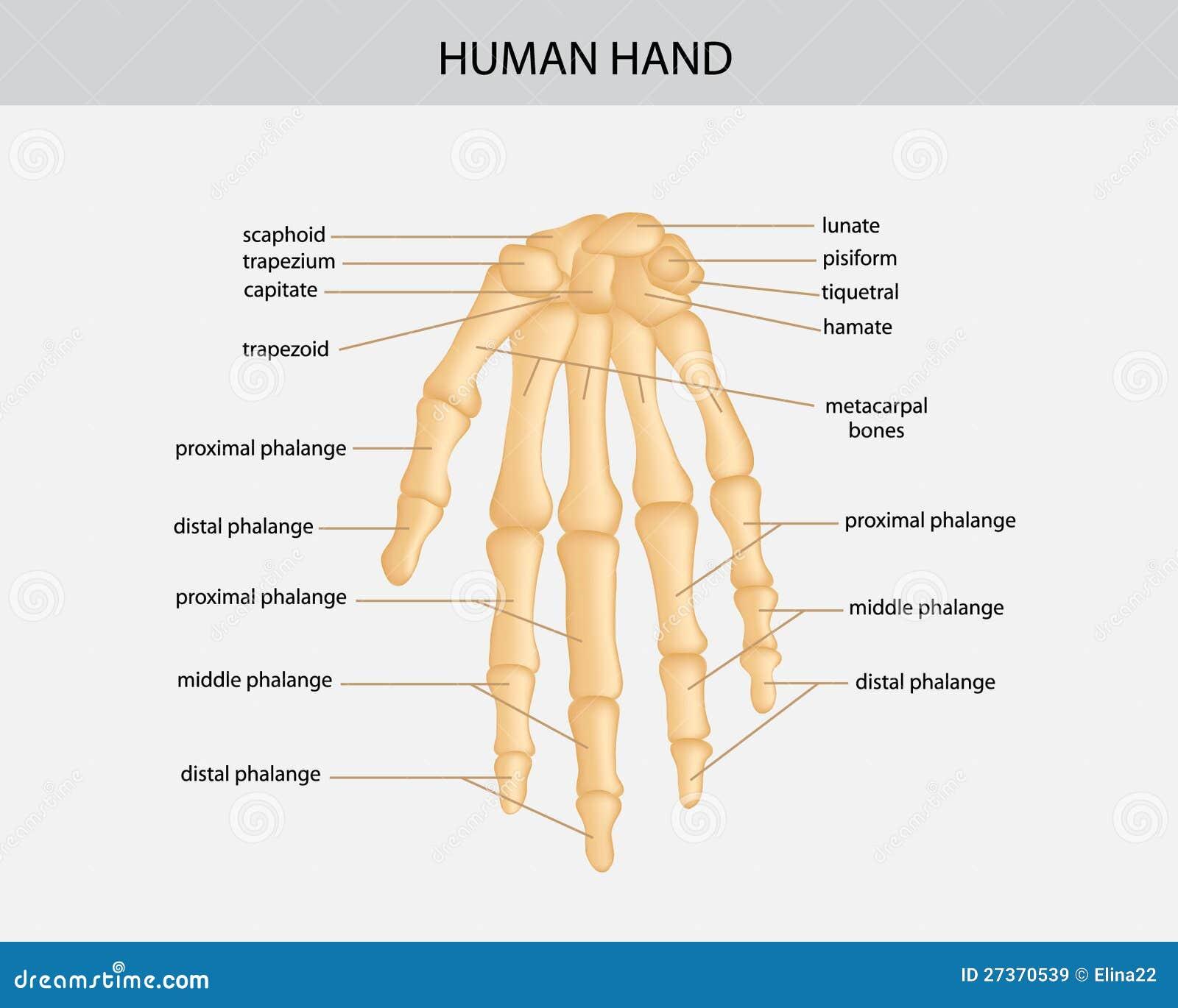 Schön Menschliches Skelett Hand Fotos - Menschliche Anatomie Bilder ...
