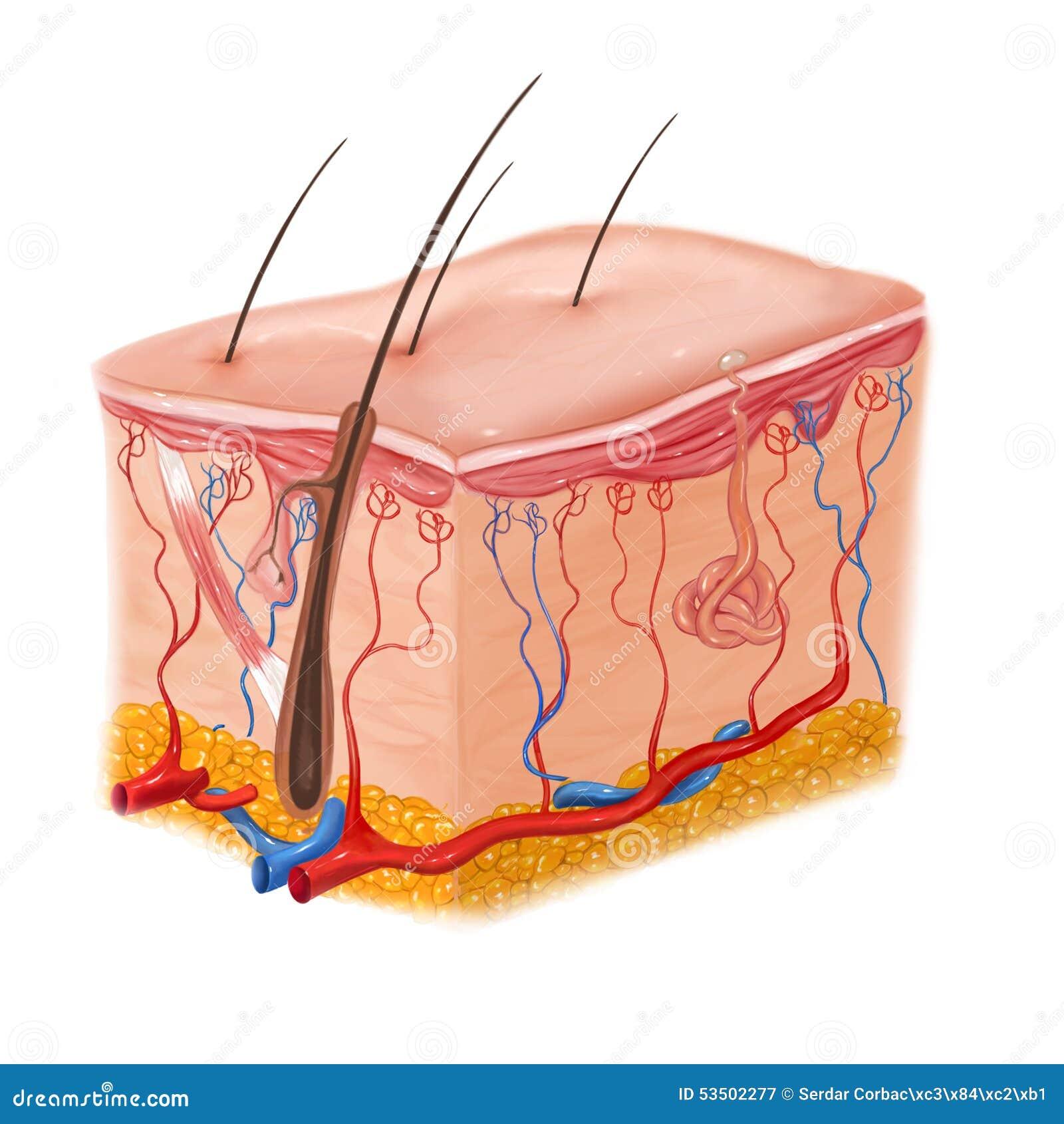 Menschliche Haut- Und Haarstruktur Stock Abbildung - Illustration ...