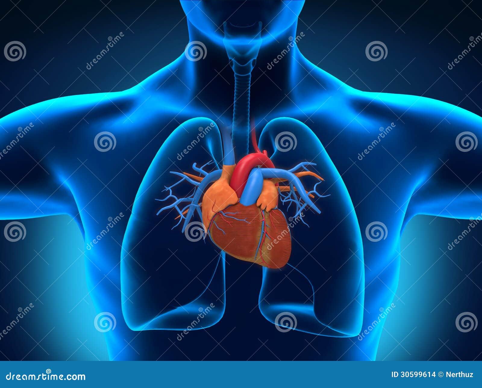 Menschliche Herz-Anatomie stock abbildung. Illustration von aorta ...