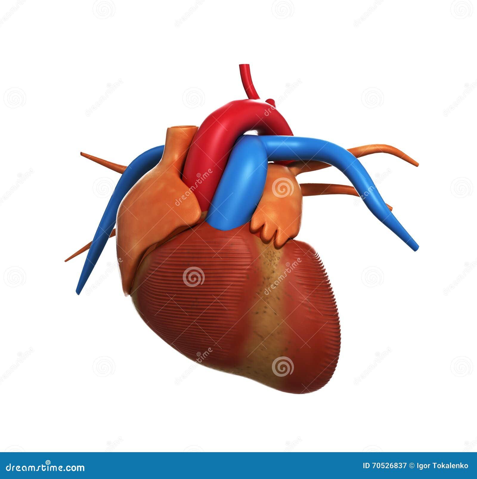 Ungewöhnlich Anatomie Des Herzens Video Ideen - Physiologie Von ...