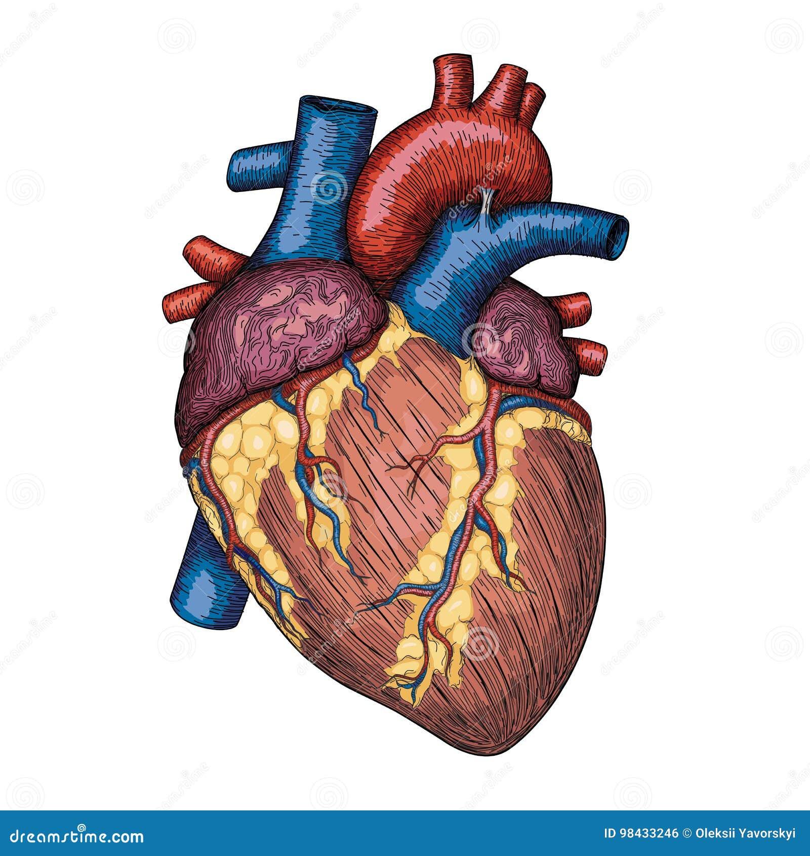Menschliche Herzhand Gezeichnet Anatomische Skizze Medizin, Vektor ...