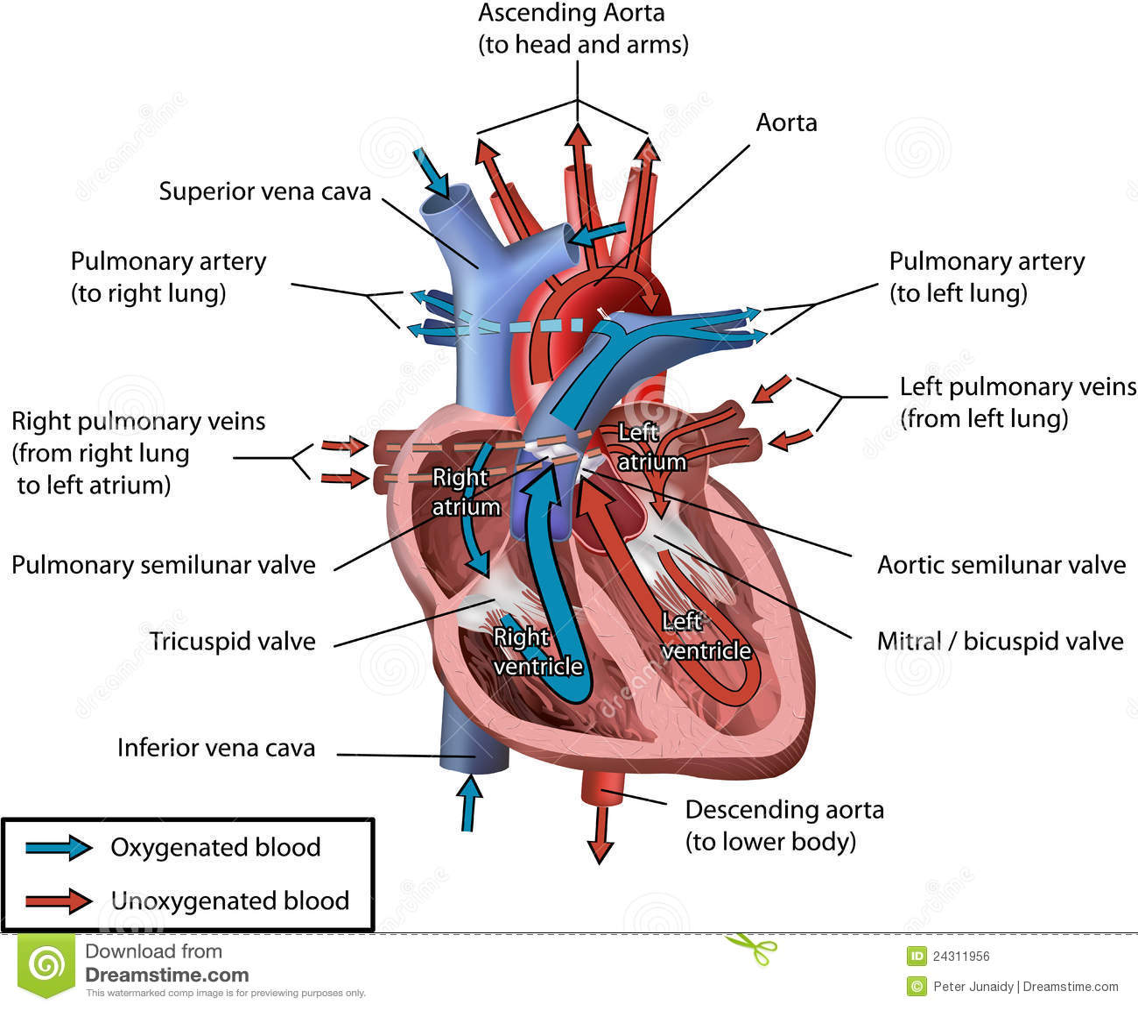 Tolle Anatomie Des Menschlichen Herzens Video Zeitgenössisch ...