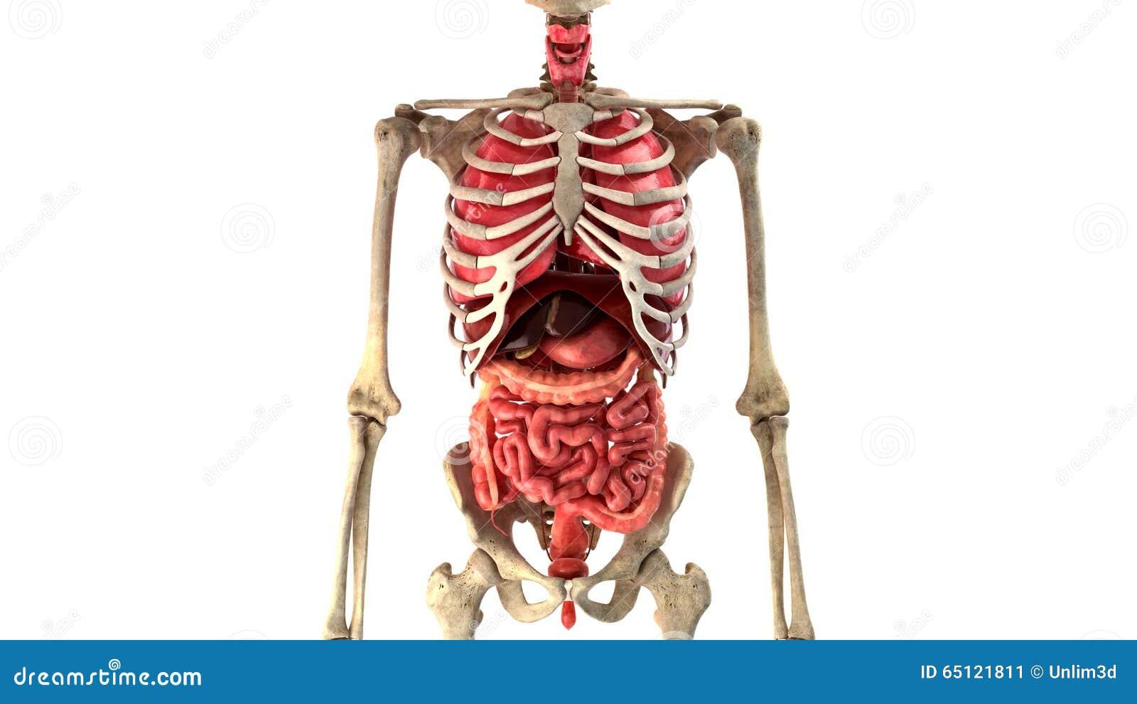 Menschliche Innere Organe In Der Bewegungsschleife Bereit Stock ...