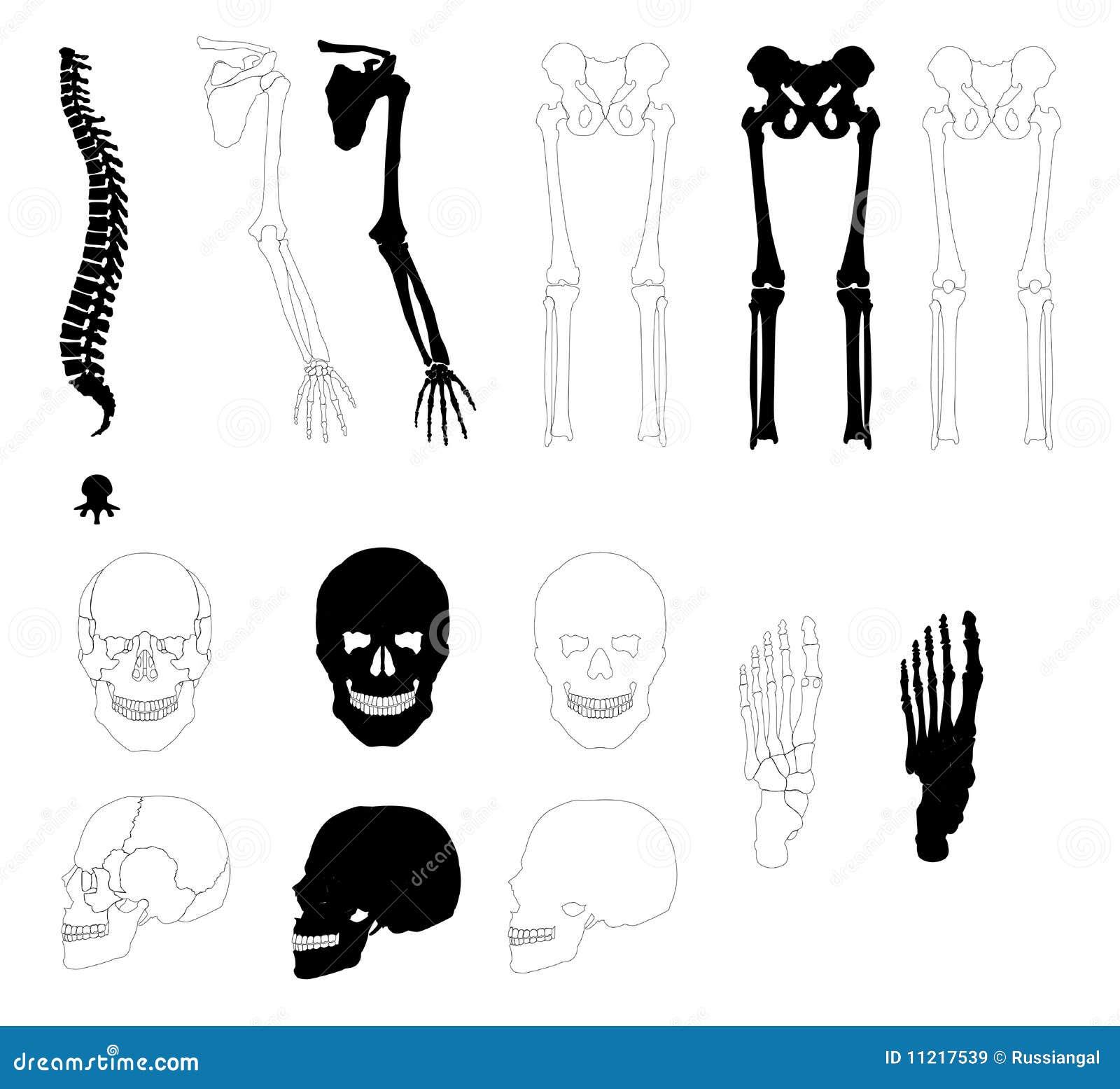 Menschliche Knochen stock abbildung. Illustration von hüfte - 11217539