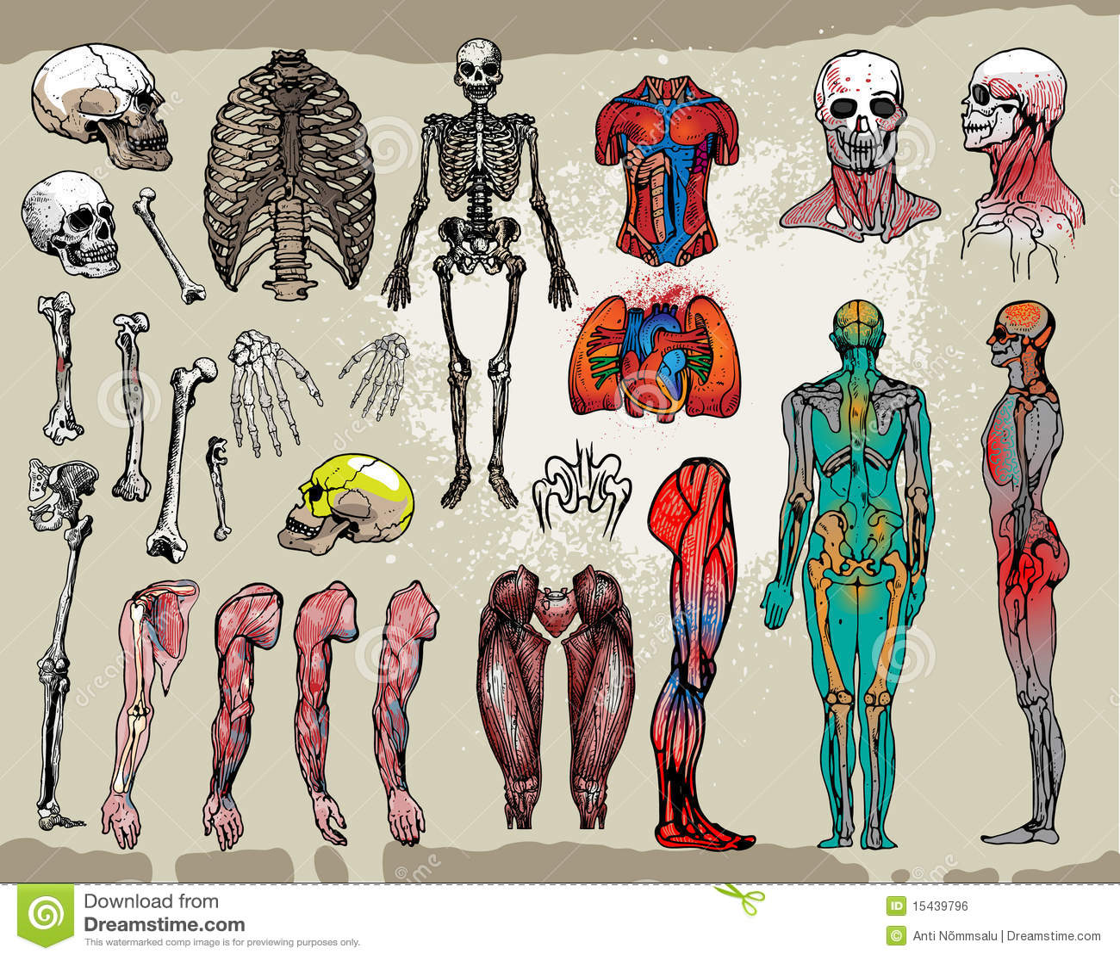 menschliche knochen und organe lizenzfreies stockbild bild 15439796. Black Bedroom Furniture Sets. Home Design Ideas