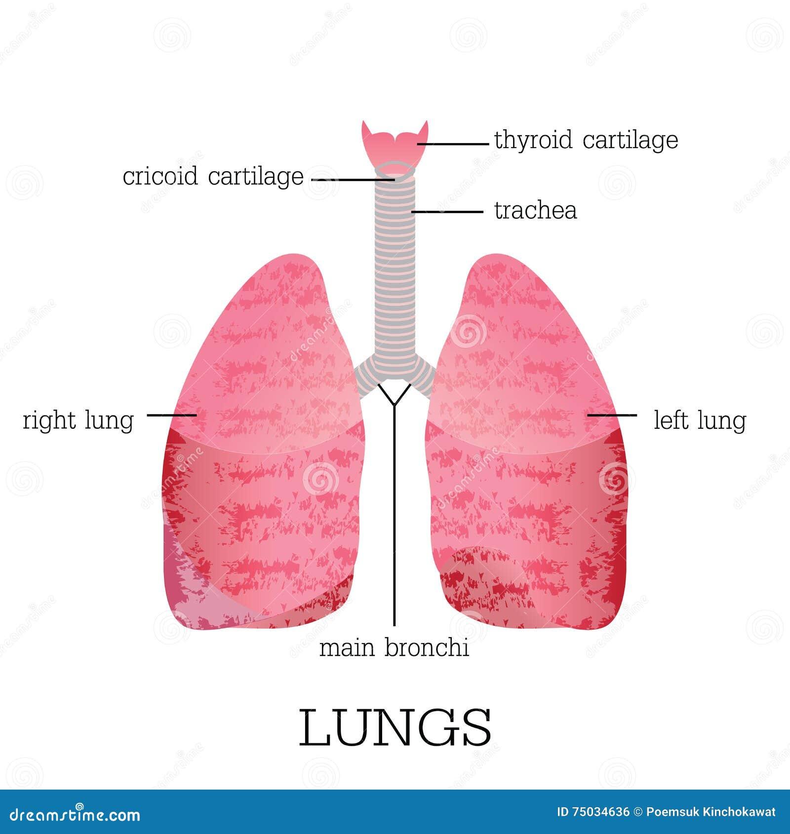 Menschliche Lunge-Anatomie vektor abbildung. Illustration von ...