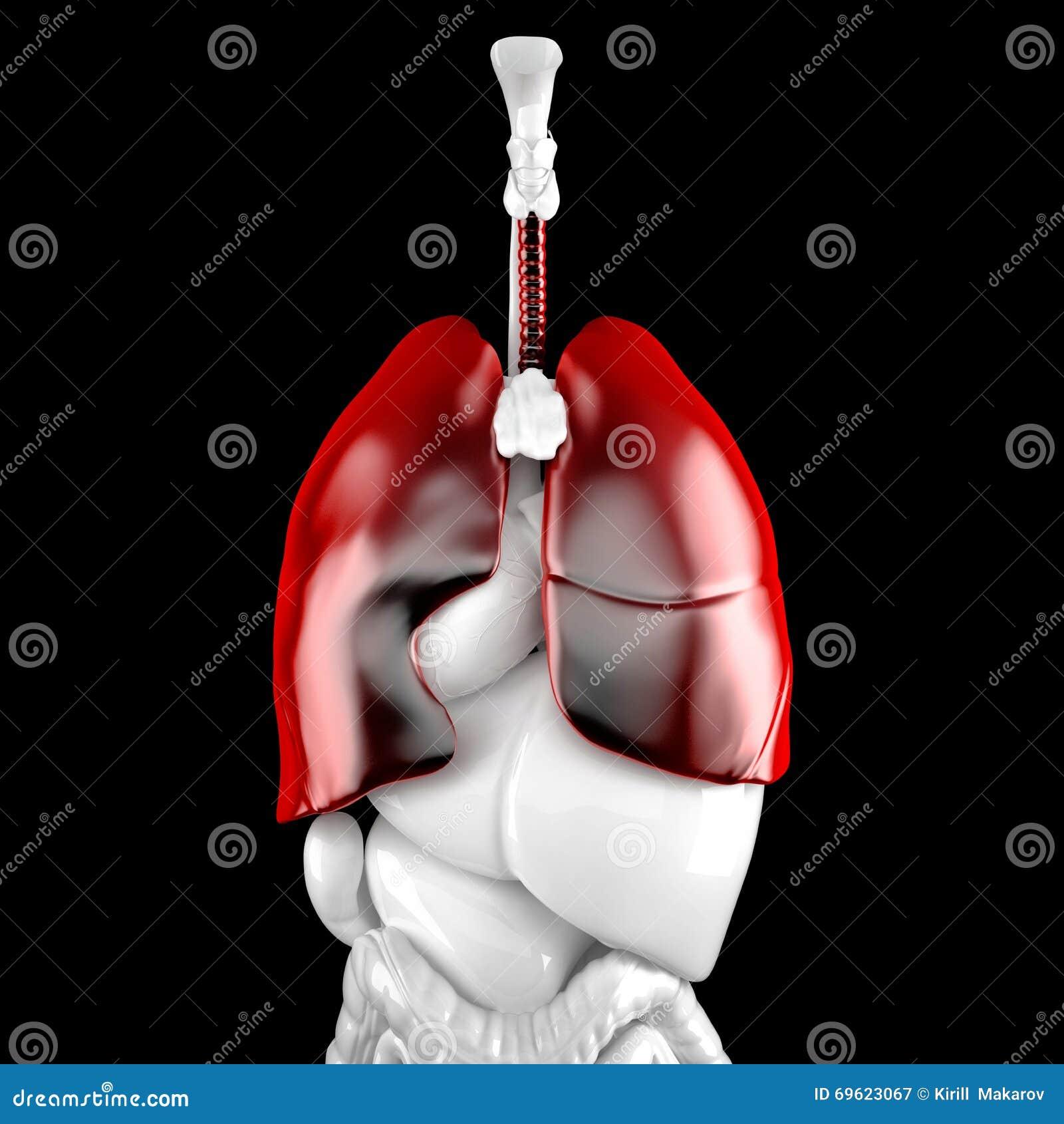 Menschliche Lungen Anatomische Illustration 3D Enthält ...