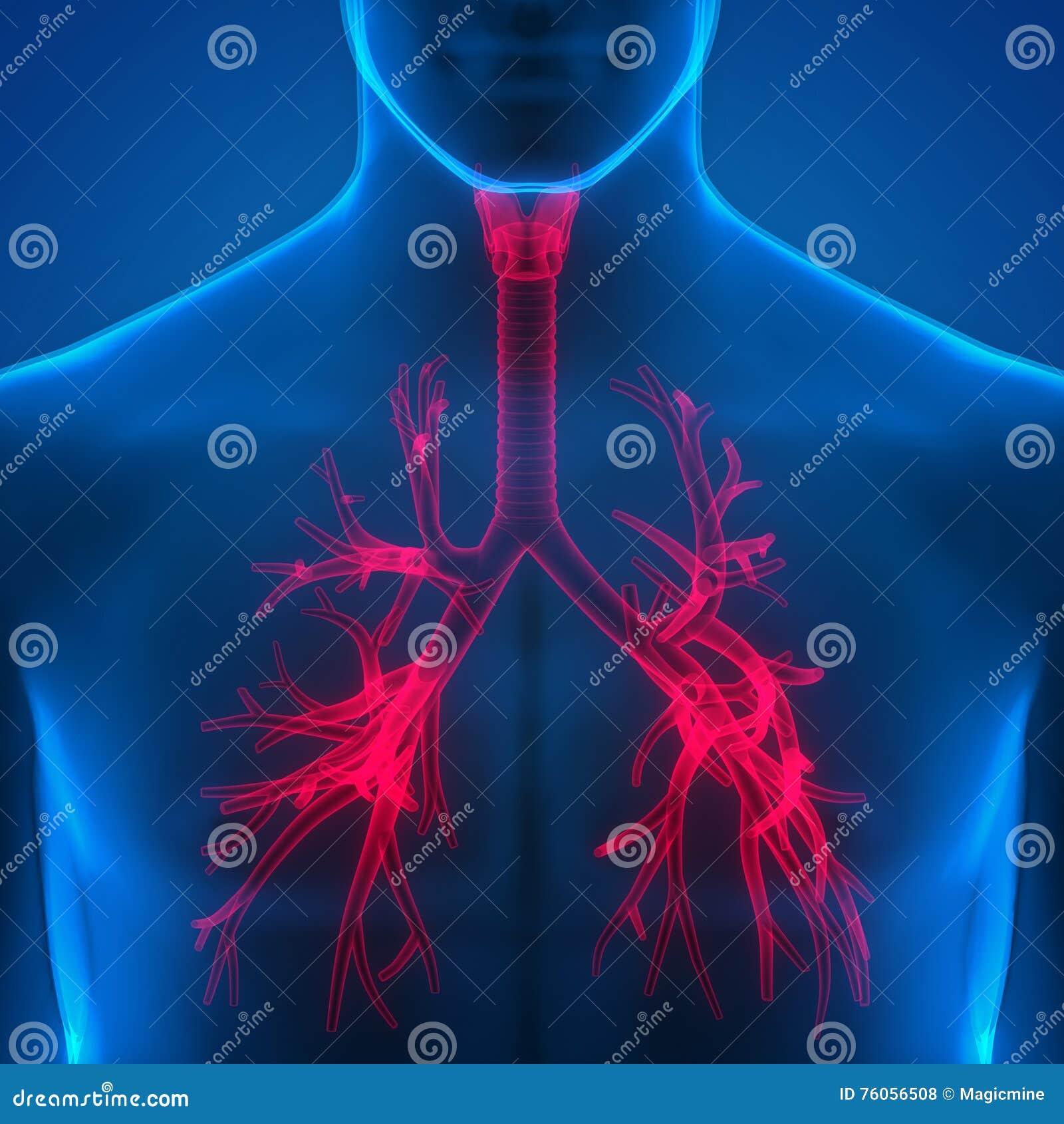 Menschliche Lungen Innerhalb Der Anatomie (Kehlkopf, Trachea ...