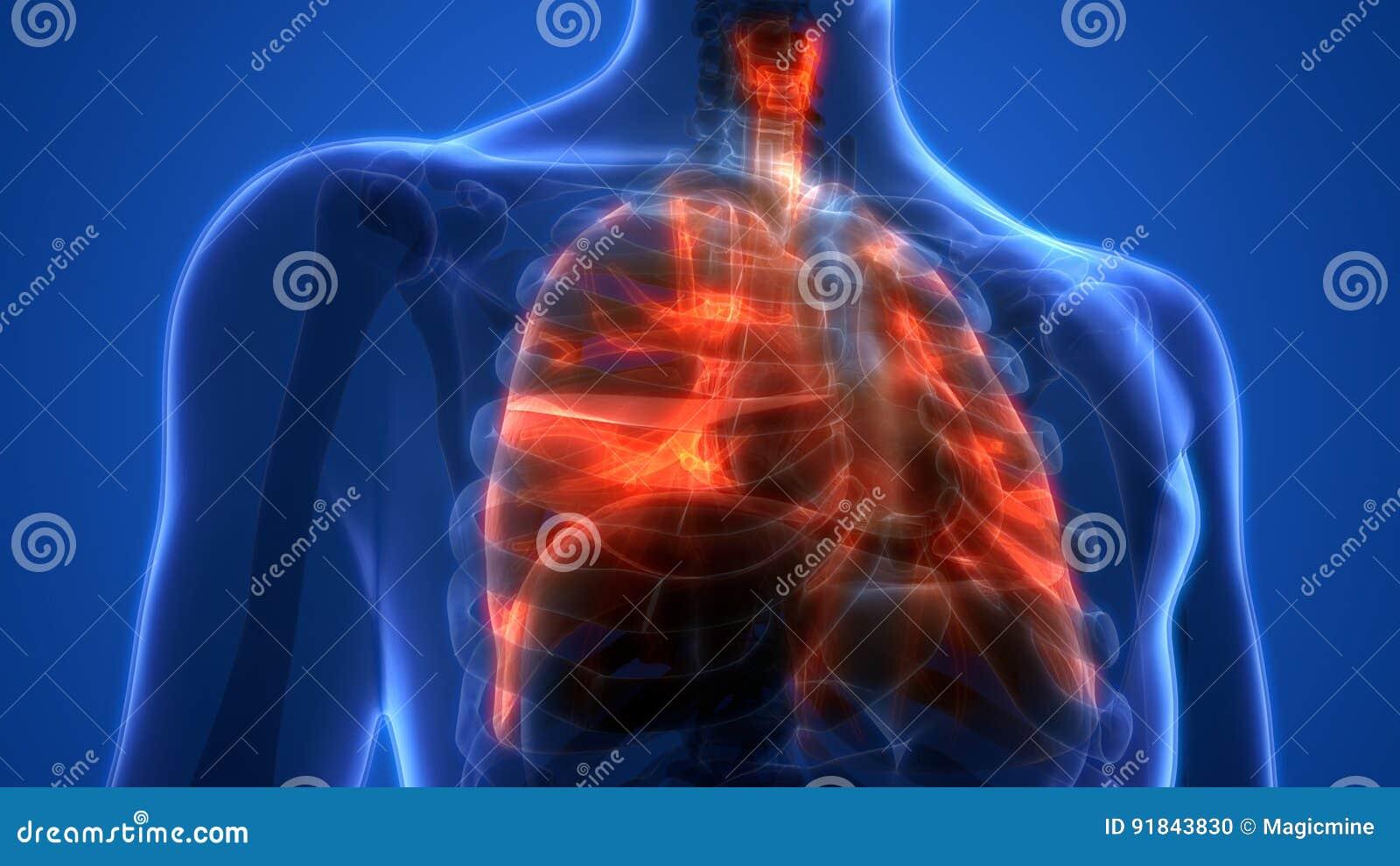 Menschliche Lungen Innerhalb Des Anatomie-Kehlkopfes, Trachea ...
