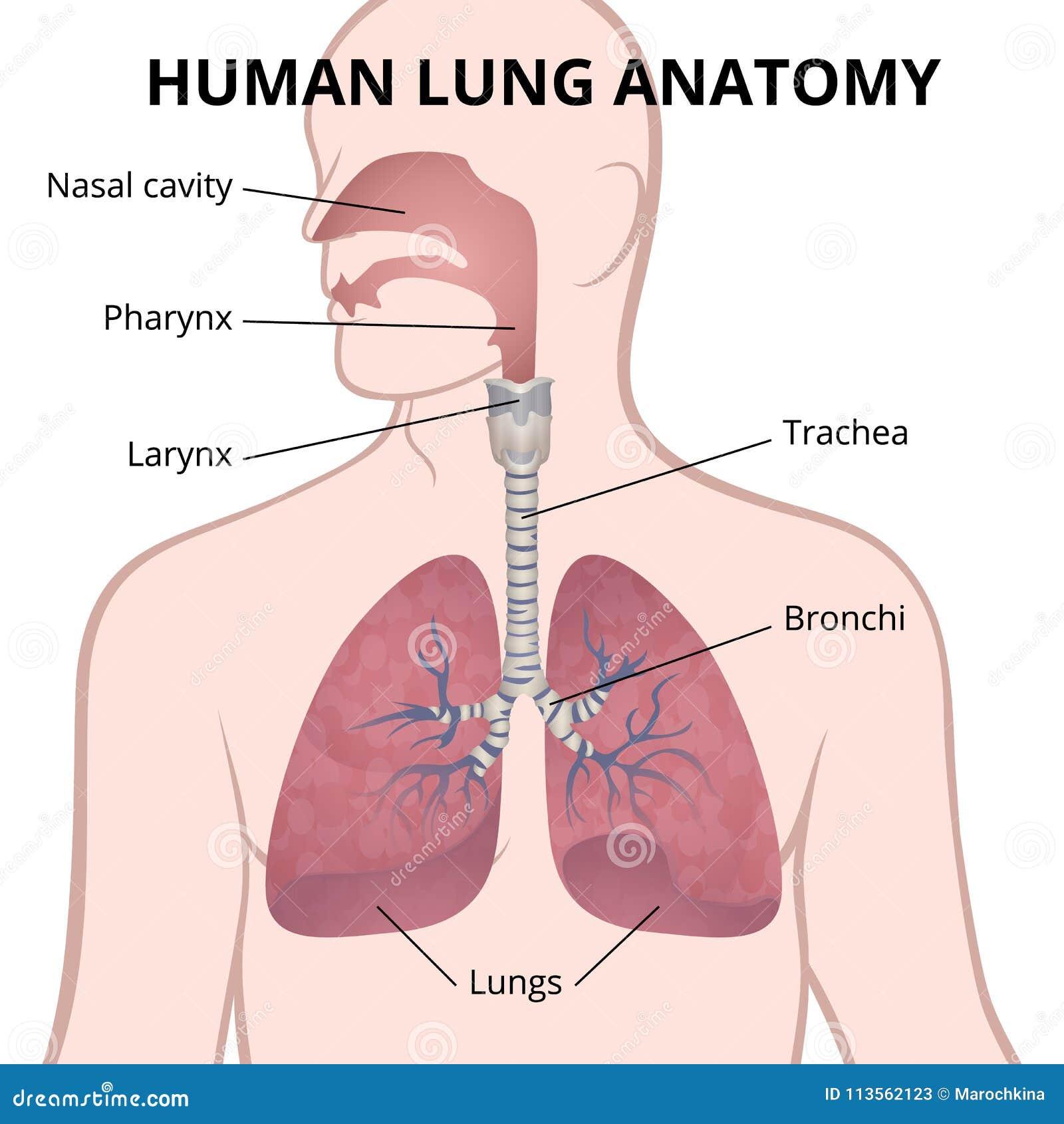 Erfreut Menschliche Lunge Diagramm Ideen - Menschliche Anatomie ...