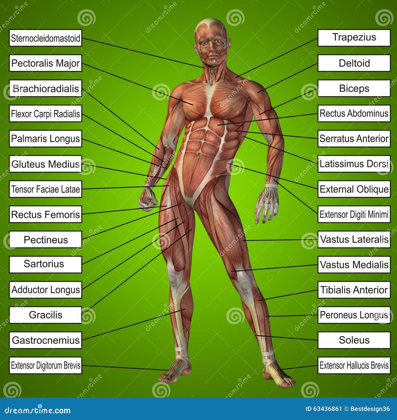 Menschliche Männliche Anatomie 3D Mit Den Muskeln Und Text Stockbild ...