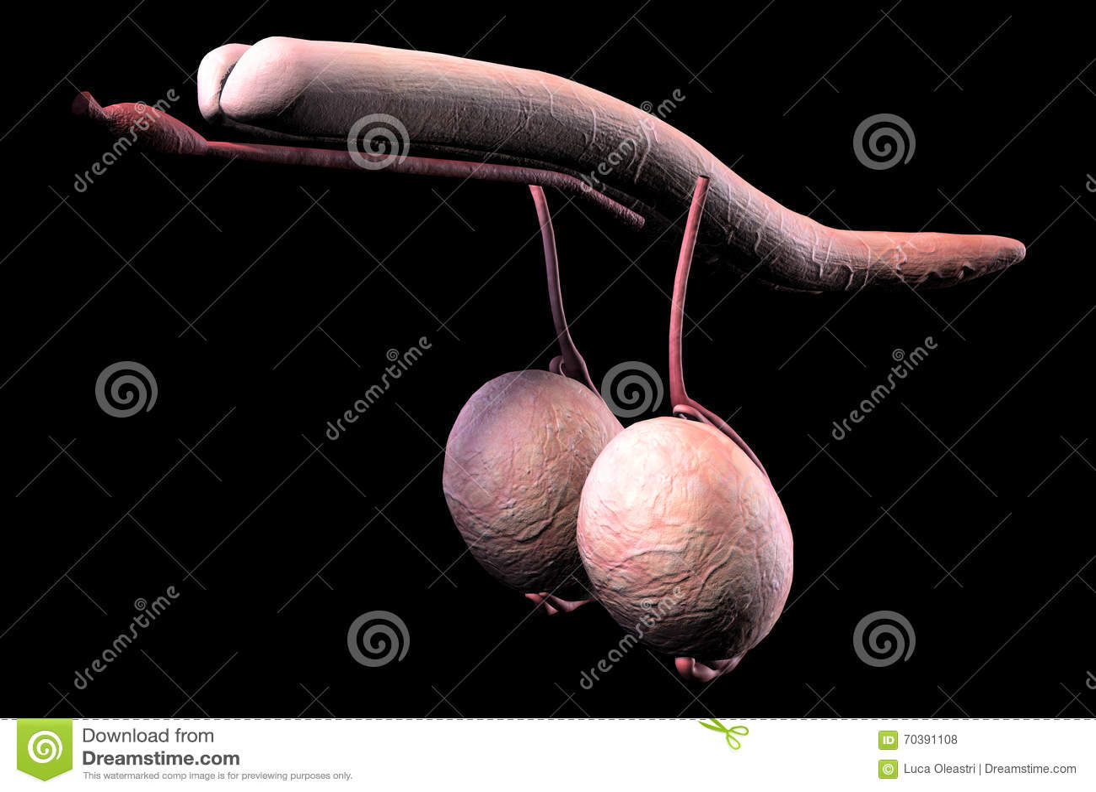Menschliche Männliche Penisinnere Organe Stock Abbildung ...