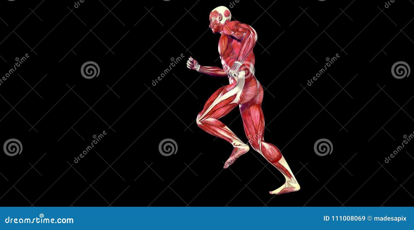 Menschliche Männlicher Körper-Anatomie-Illustration Des Menschlichen ...