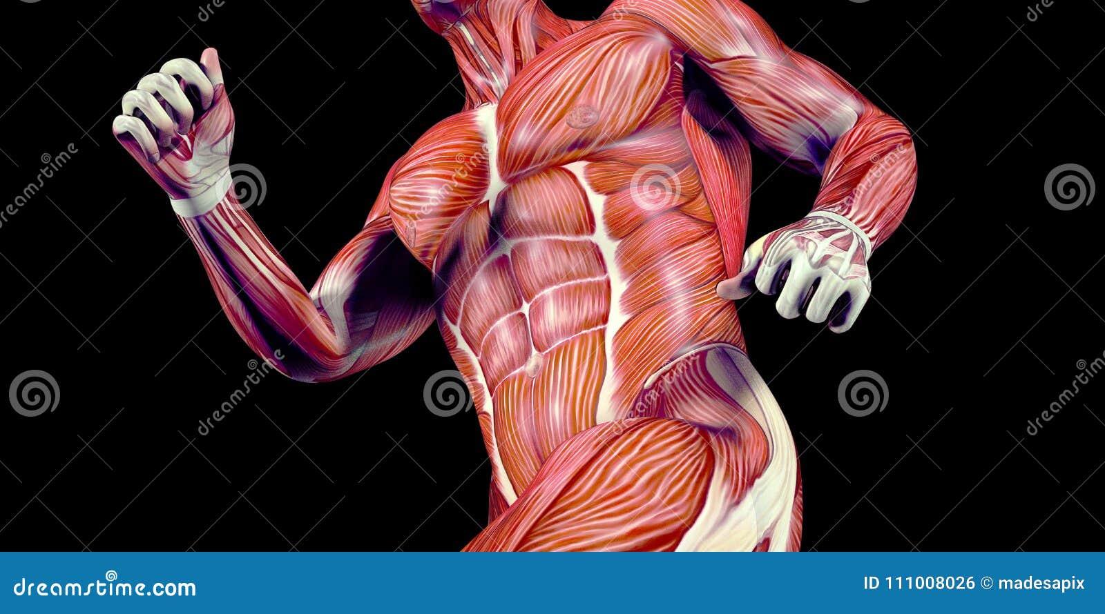 Menschliche Männlicher Körper-Anatomie-Illustration Eines Menschen ...