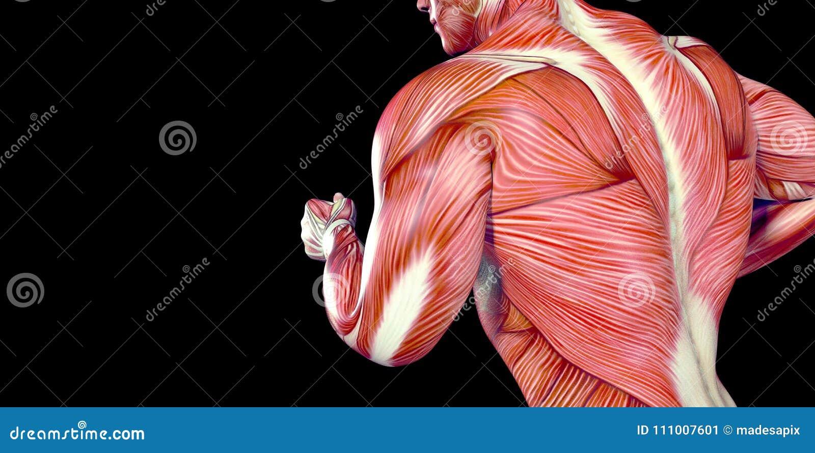 Atemberaubend Anatomie Des Menschlichen Körpers Organe Männlich ...