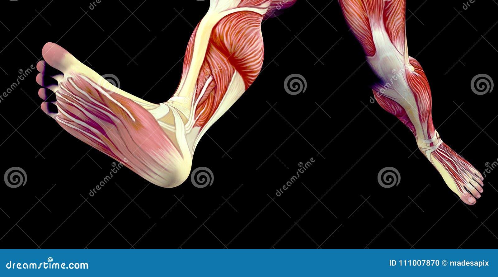 Menschliche Männlicher Körper-Anatomie-Illustration Eines ...