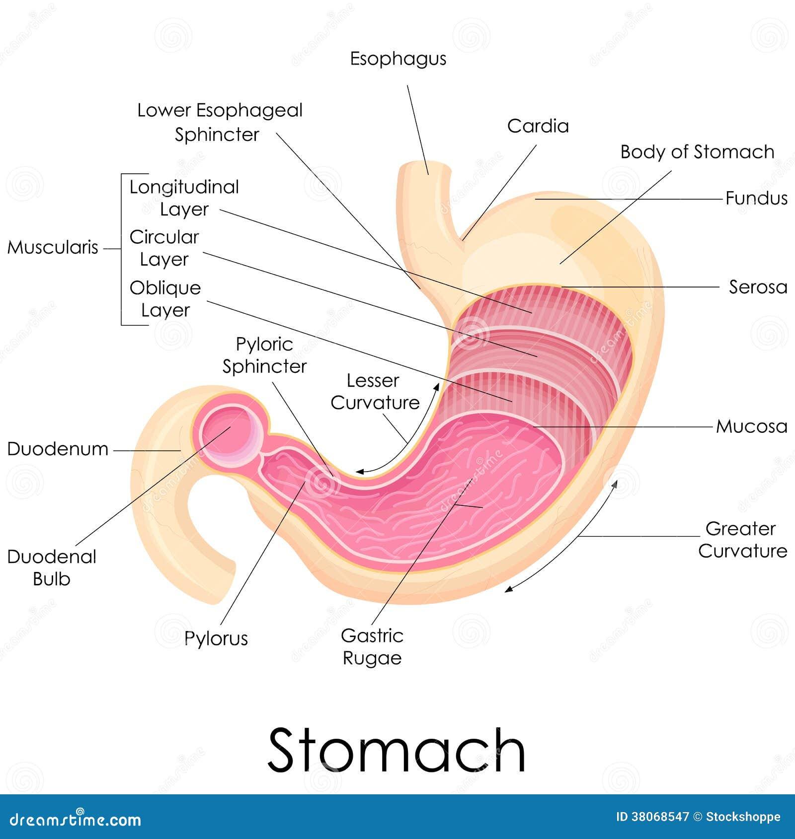Menschliche Magen-Anatomie vektor abbildung. Illustration von ...