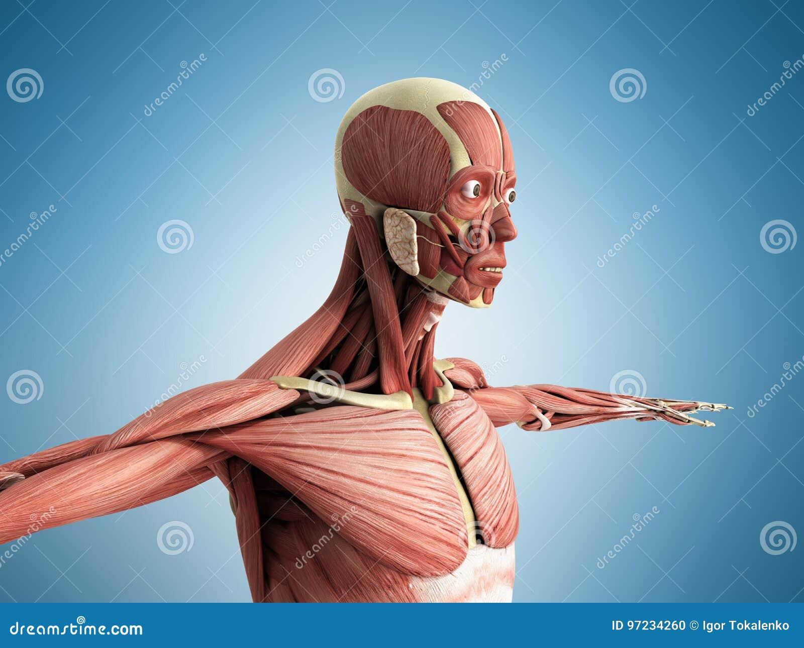 Menschliche Muskel-Anatomie 3d übertragen Auf Blau Stock Abbildung ...
