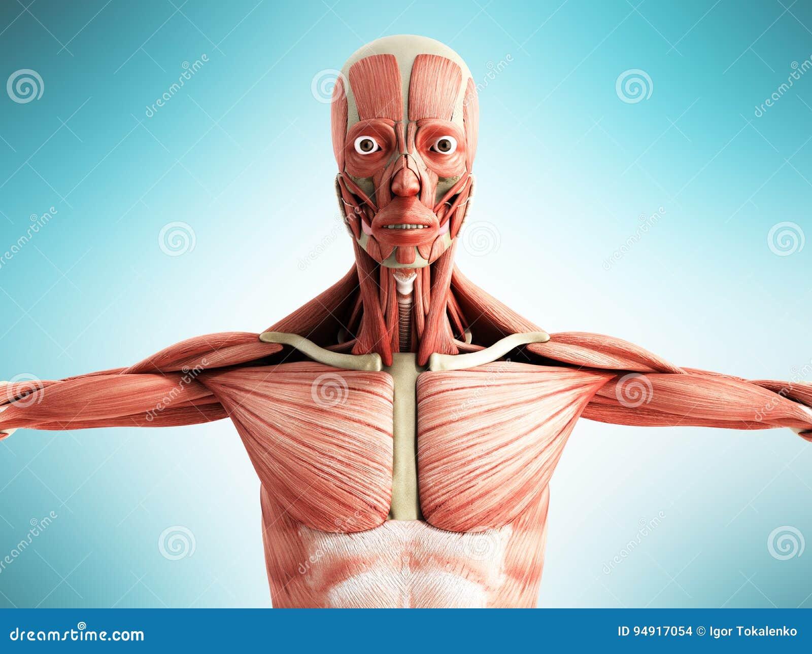 Menschliche Muskel-Anatomie 3d übertragen Auf Blauer Front Stock ...