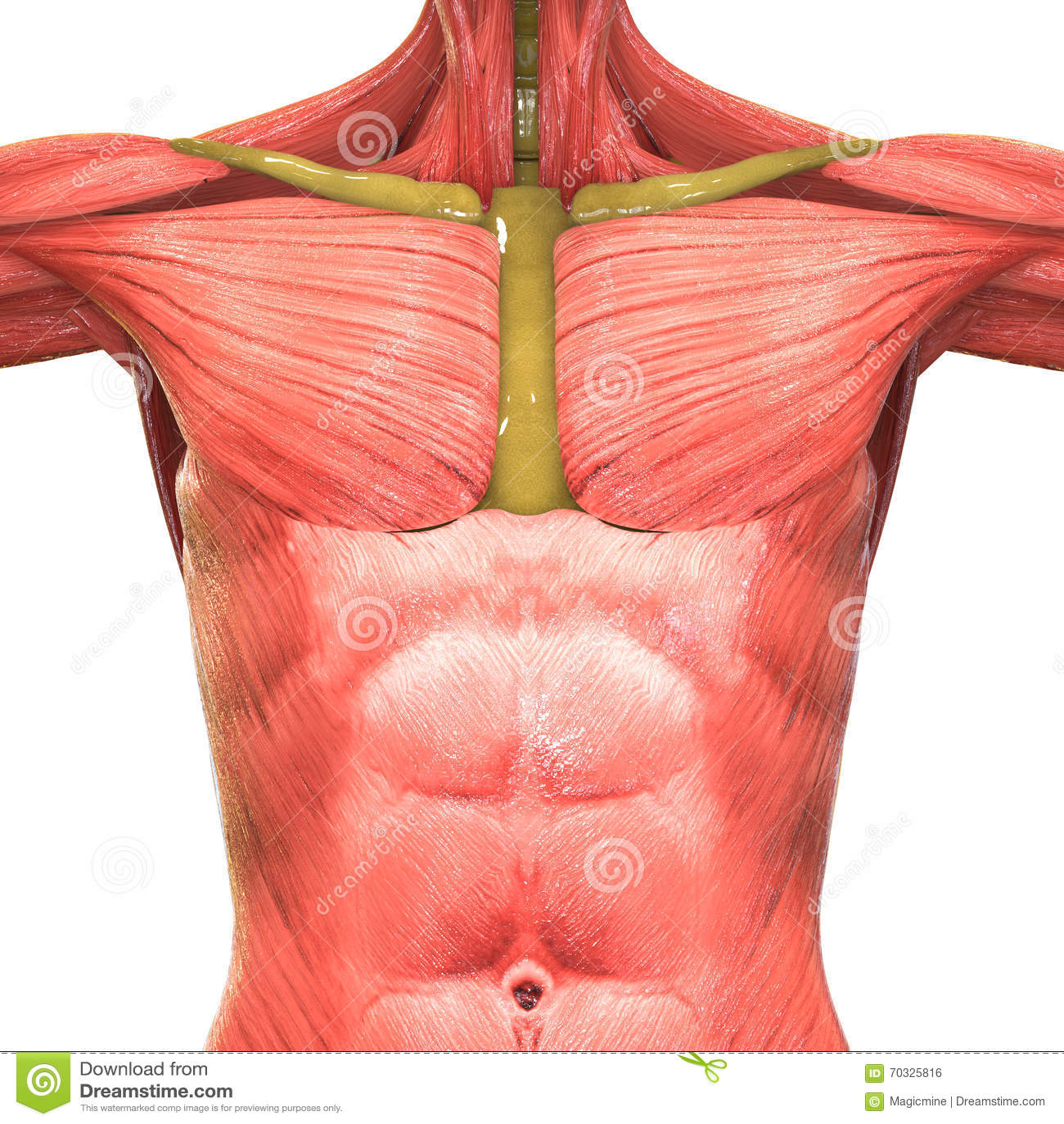 Menschliche Muskel-Körper-Anatomie Stock Abbildung - Illustration ...