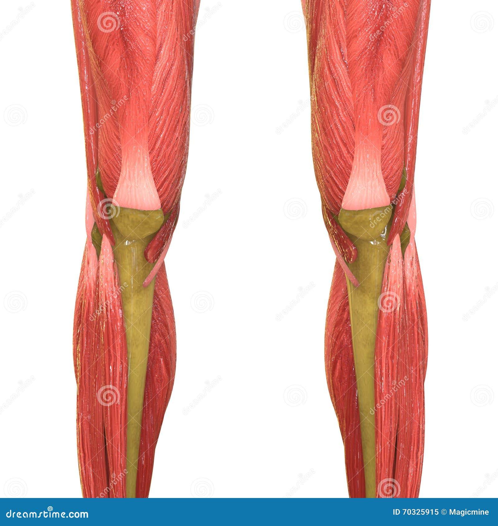 Charmant Menschliche Anatomie Beine Galerie - Menschliche Anatomie ...